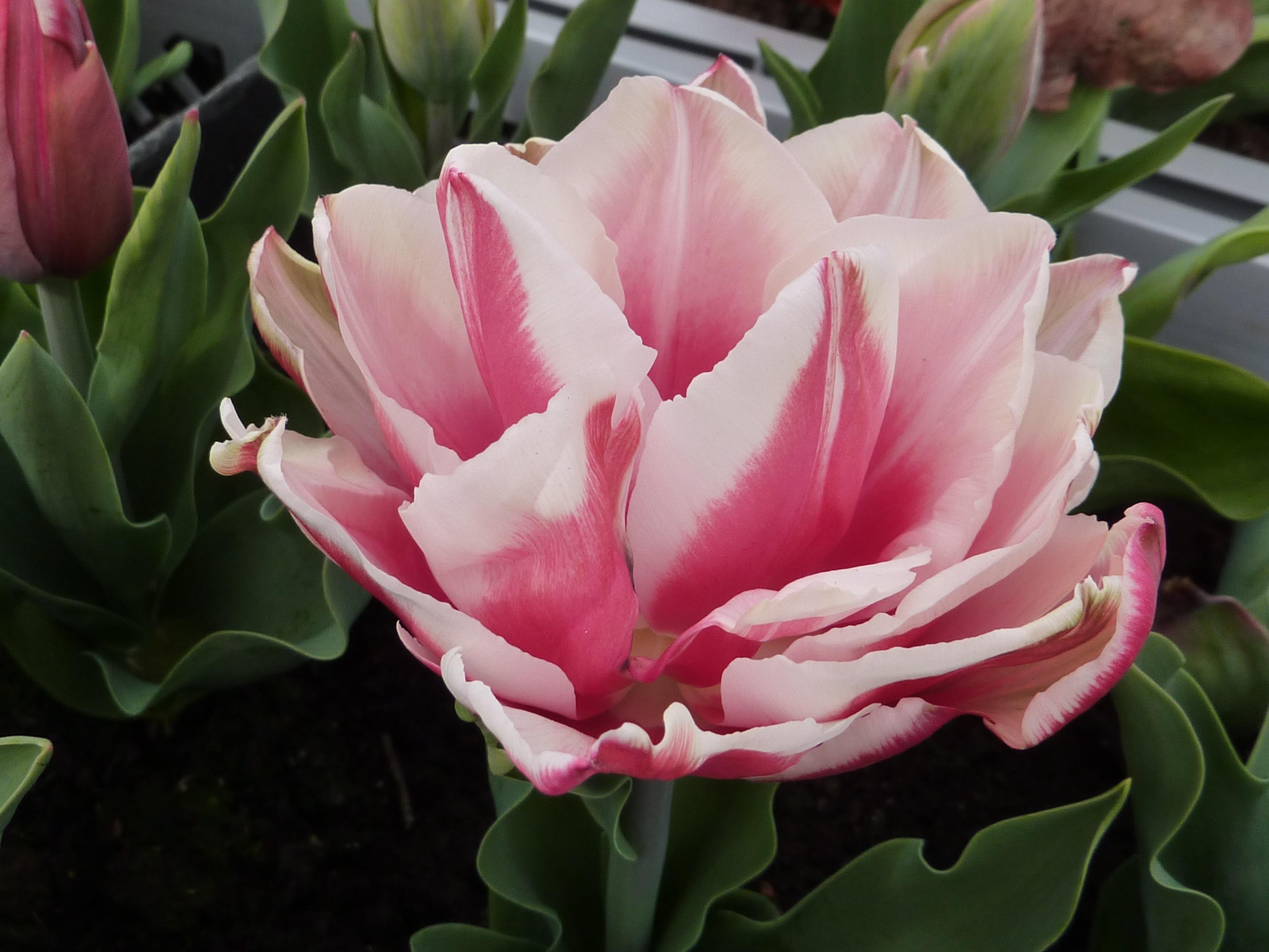 images gratuites fleur p tale tulipe botanique rose flore pivoine plante fleurs. Black Bedroom Furniture Sets. Home Design Ideas