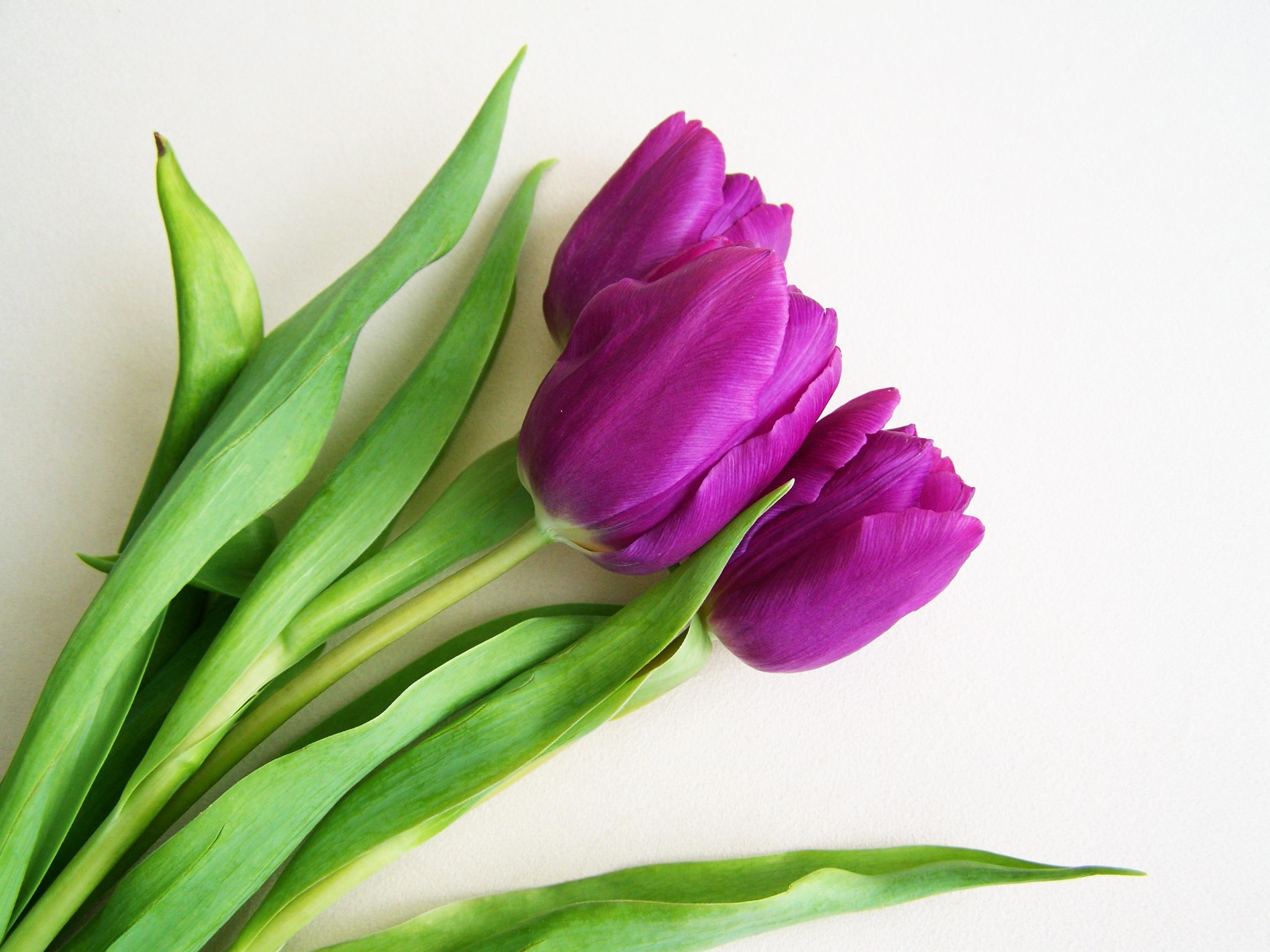 Free Images Petal Tulip Flora Spring Flower Flowering Plant