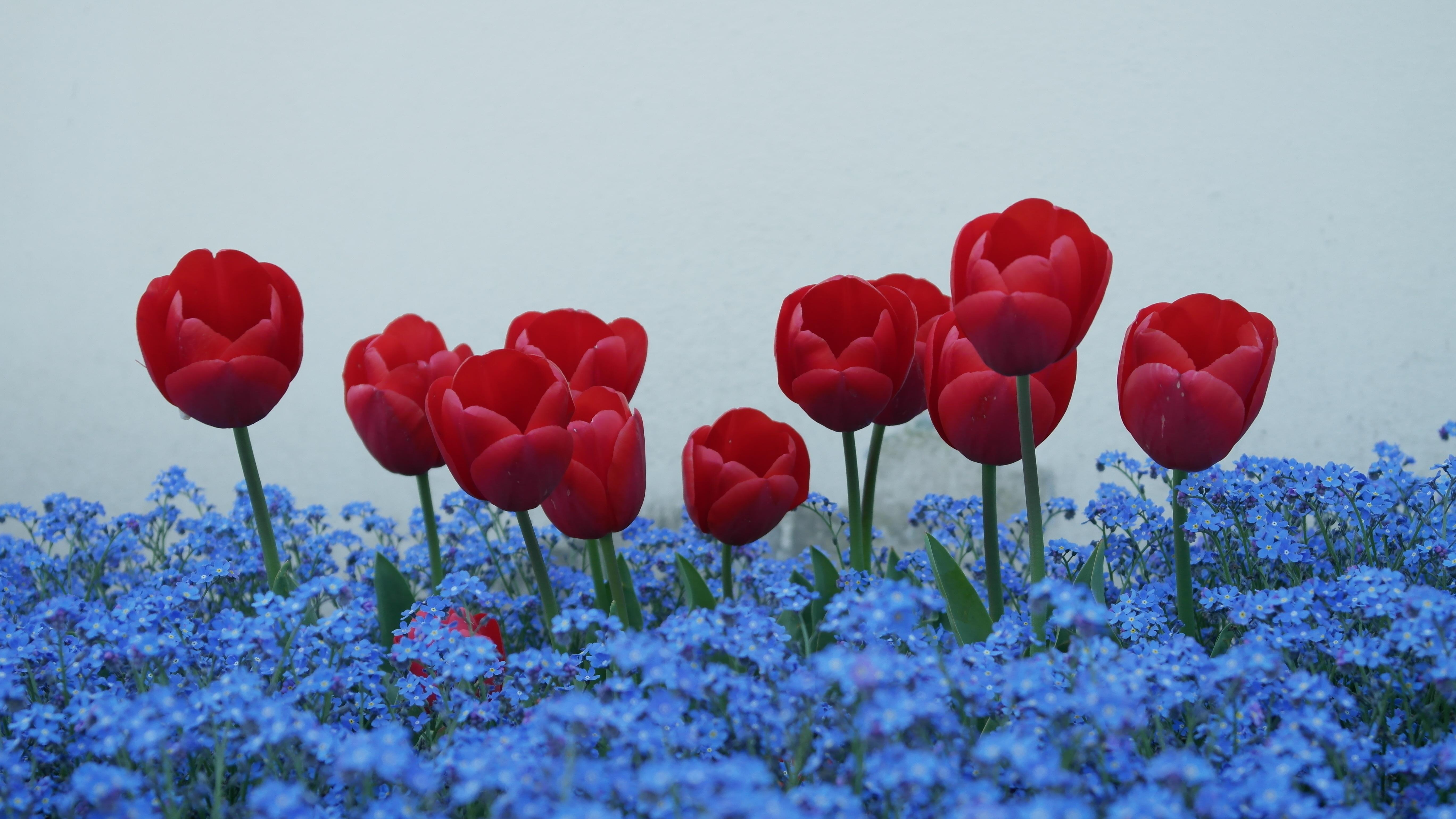 Fotos Gratis : Flor, Pétalo, Tulipán, Flores, No Me