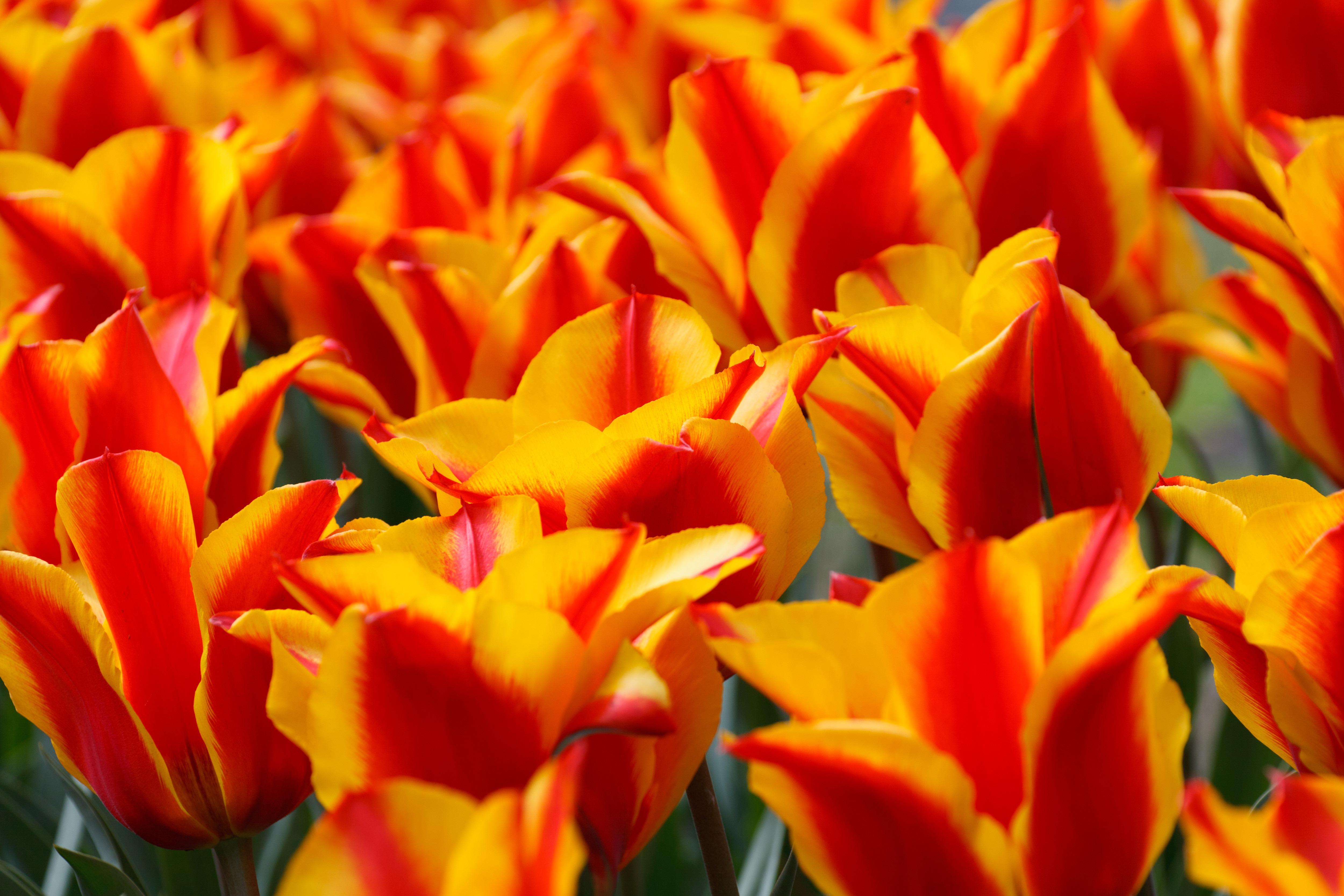 Free flower petal tulip green red yellow flora