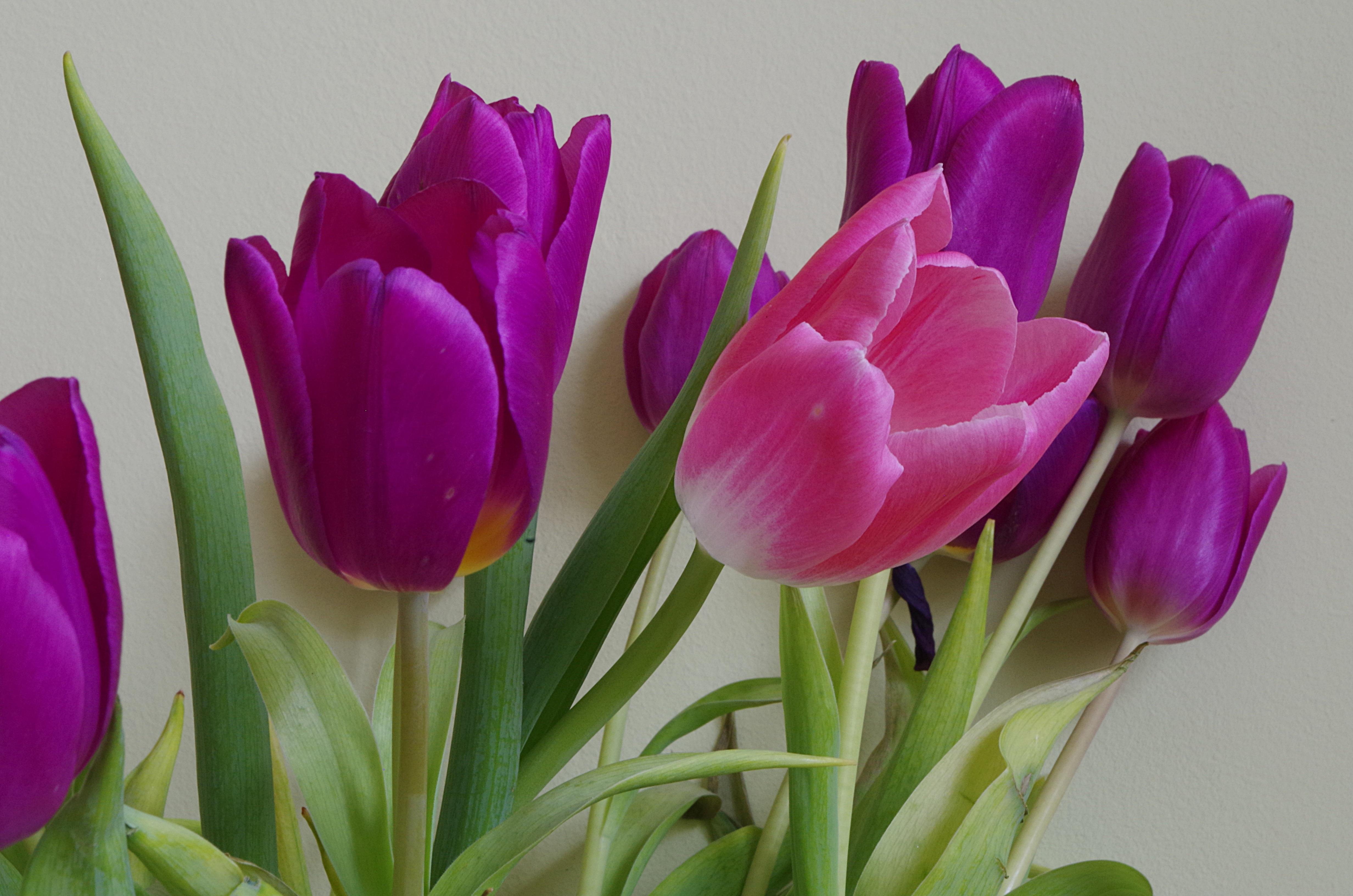 Fotos de flores tulipanes 53