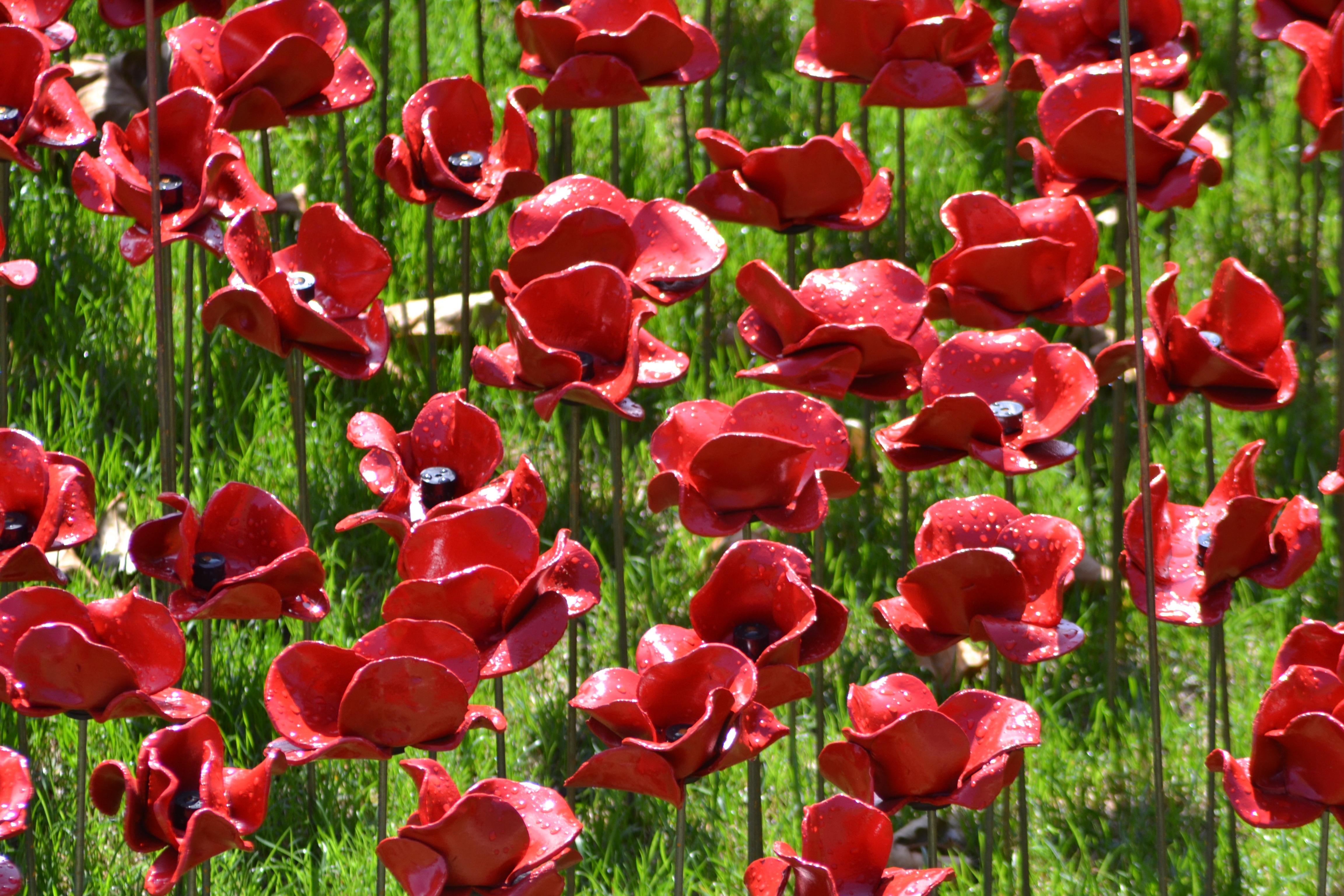images gratuites fleur p tale tulipe rouge flore coquelicot coquelicots comm moration. Black Bedroom Furniture Sets. Home Design Ideas