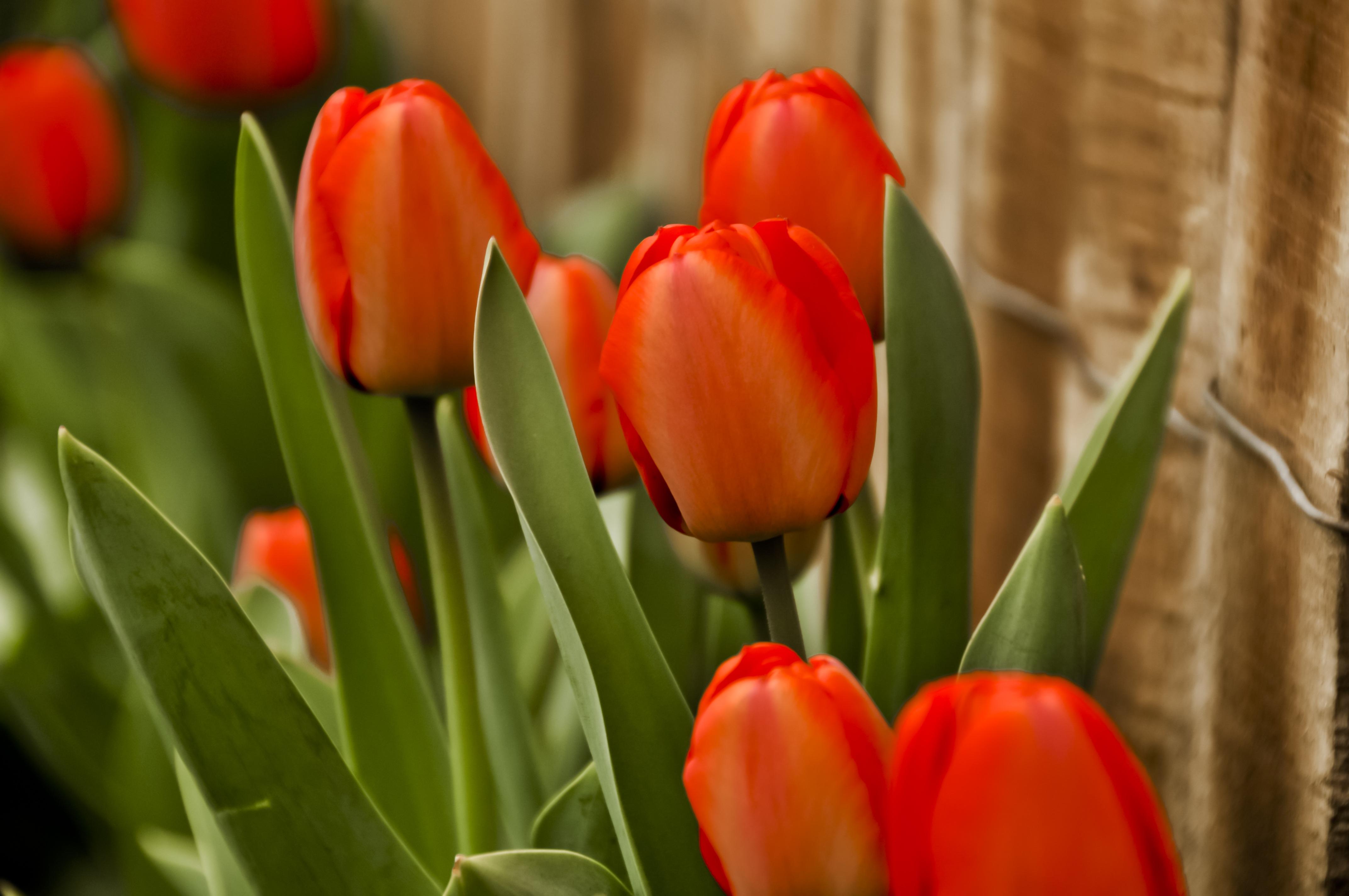 Фото картинки тюльпанов