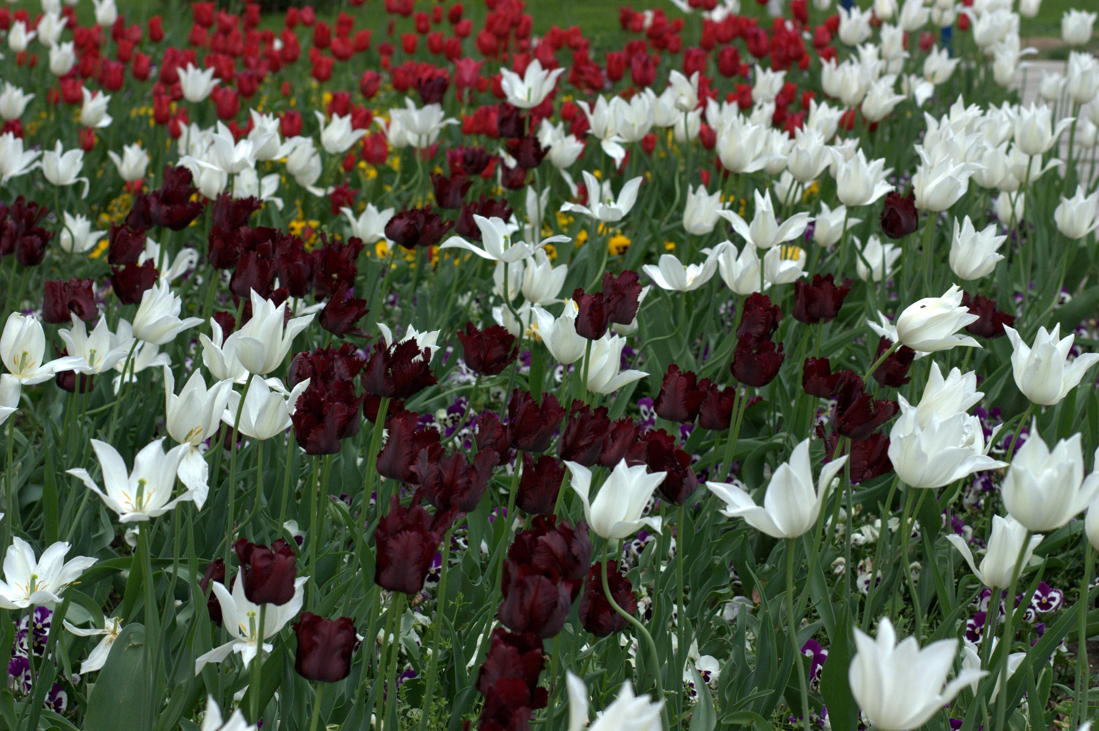 Fotoğraf çiçek Taçyaprağı Lale Bahar Botanik çiçekler Boyama