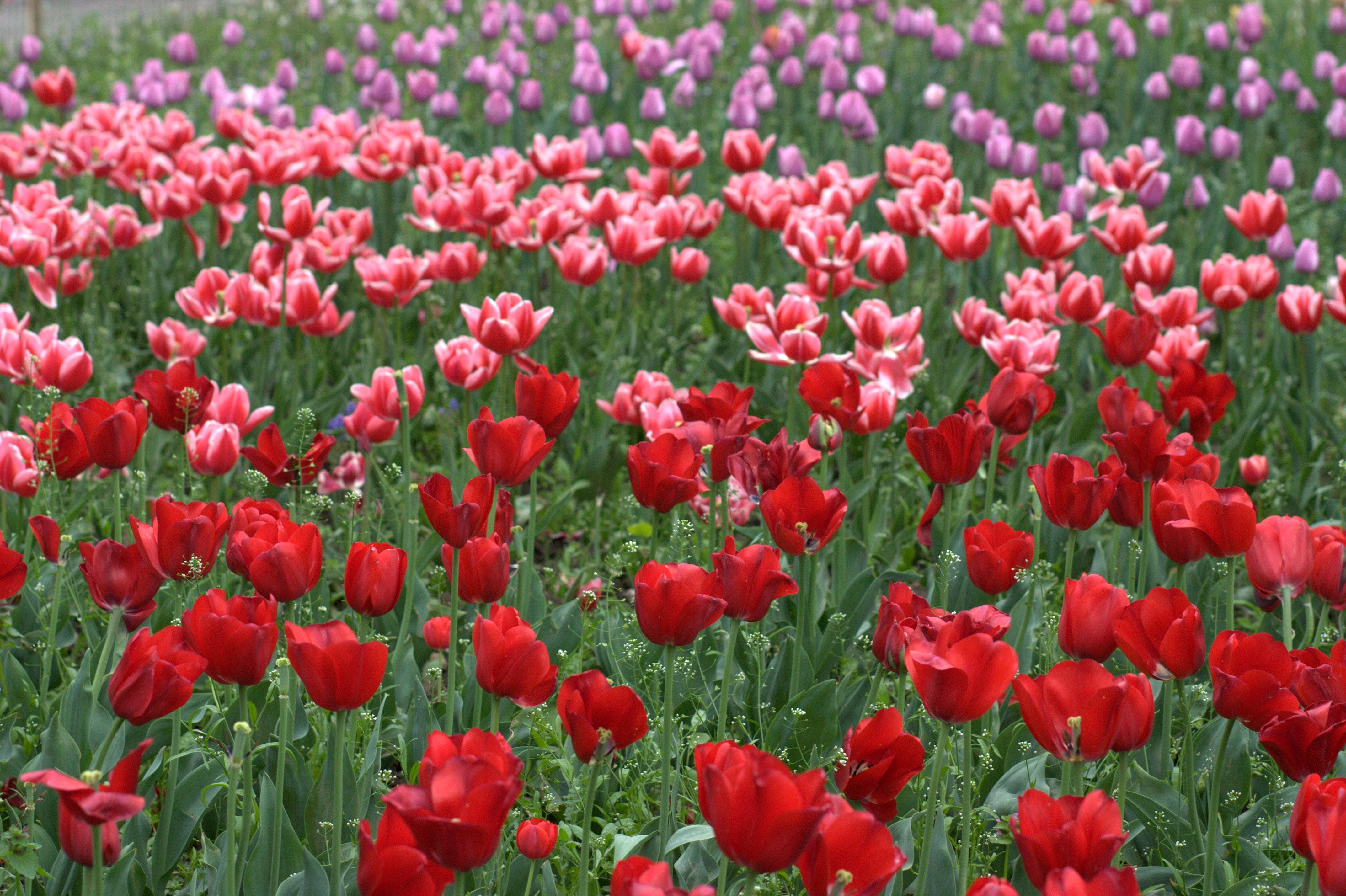 Fotoğraf çiçek Taçyaprağı Lale Bahar çiçekler Boyama