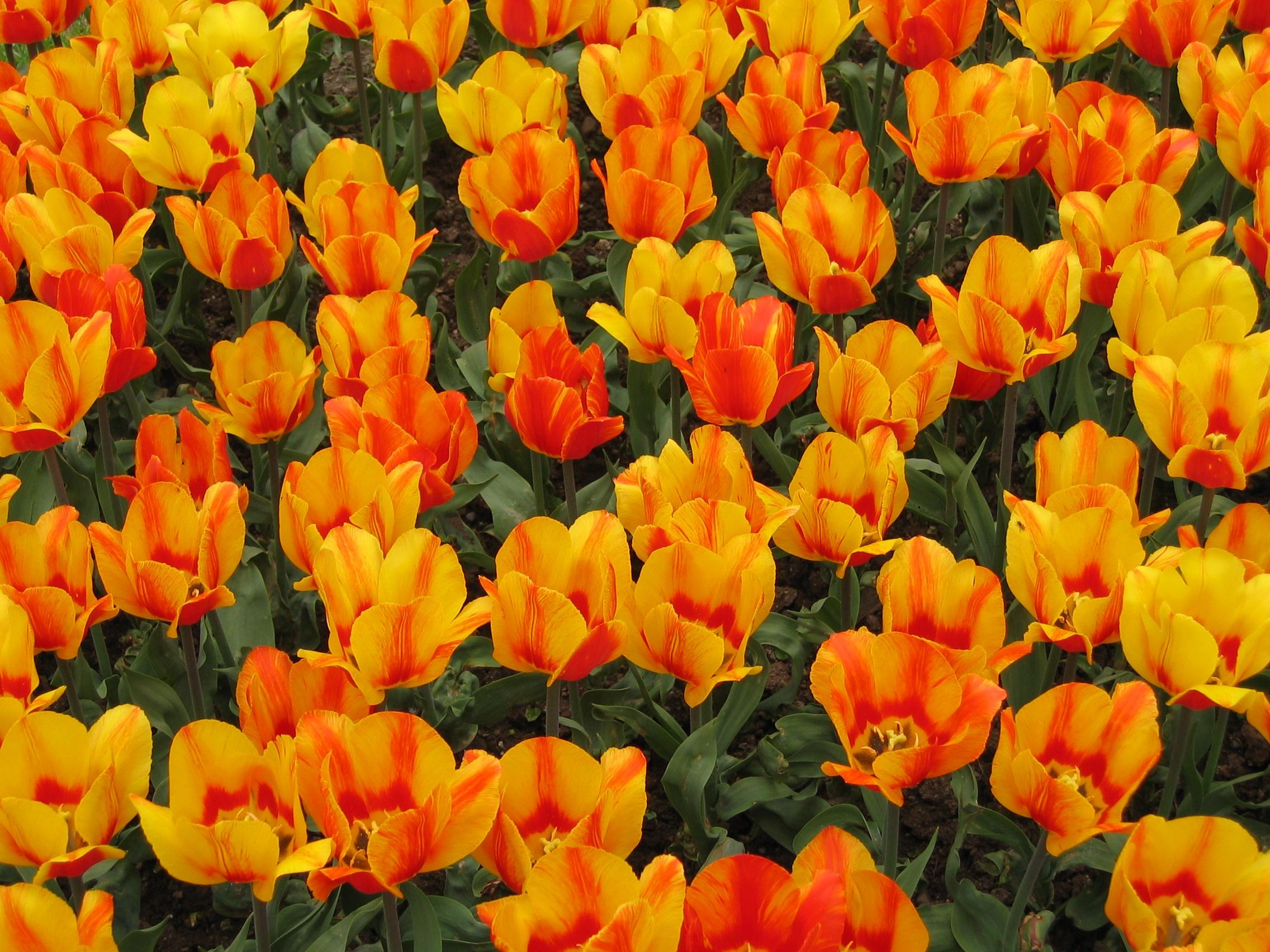 Free Images Flower Petal Tulip Spring Flowers Colors Tulips