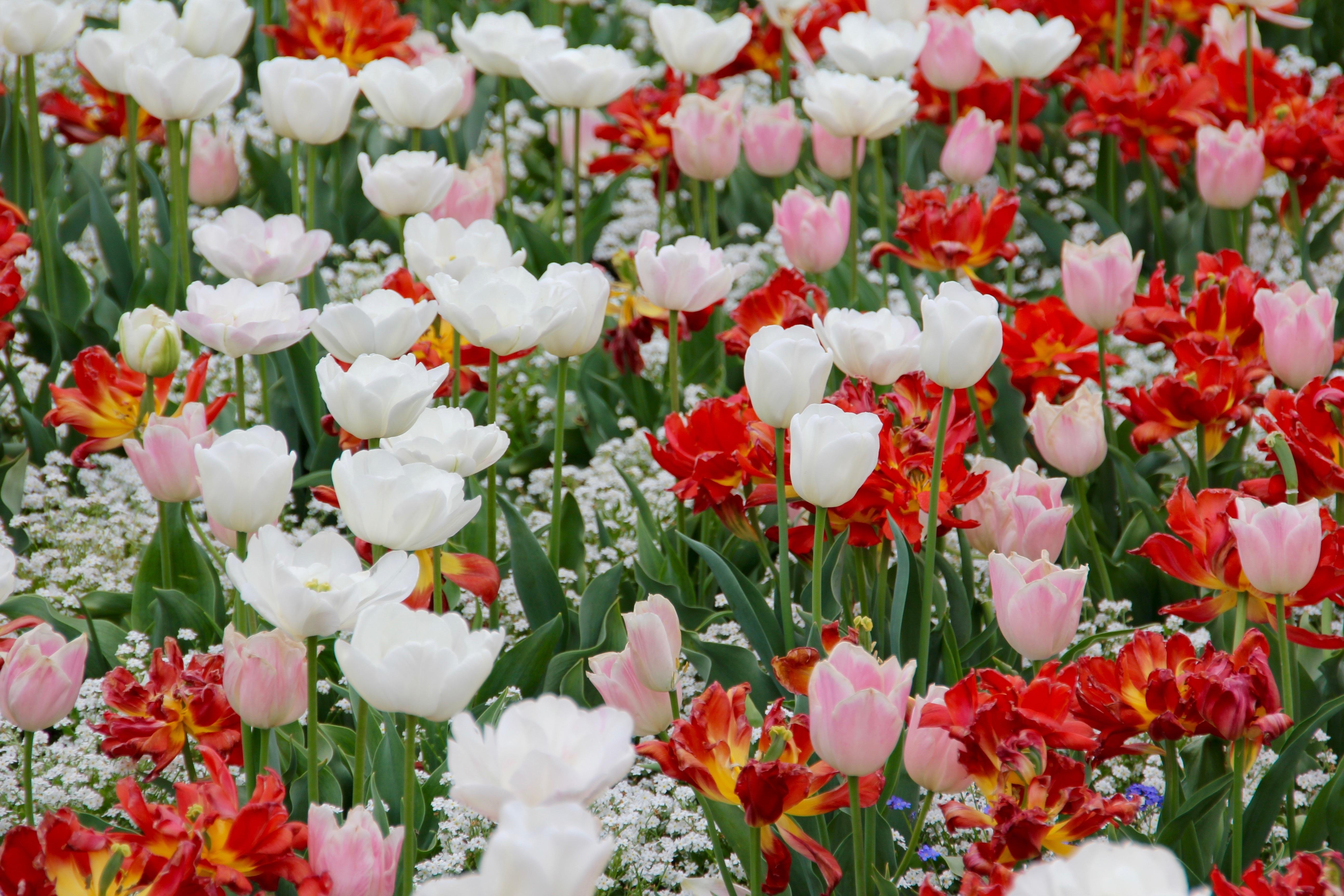 free images flower petal spring flowers holland dutch