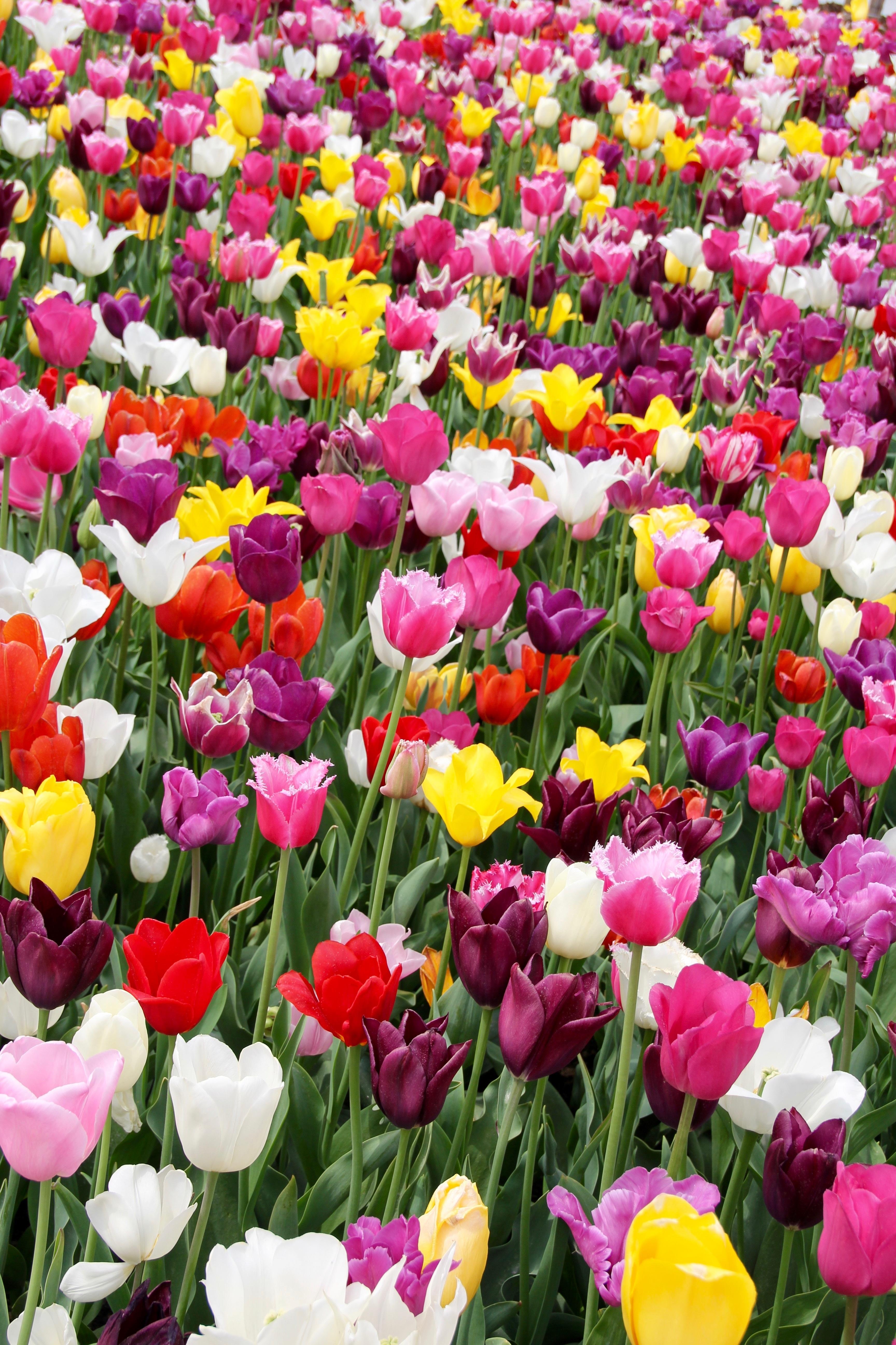 Salon De Jardin Original images gratuites : pétale, tulipe, hollande, néerlandais