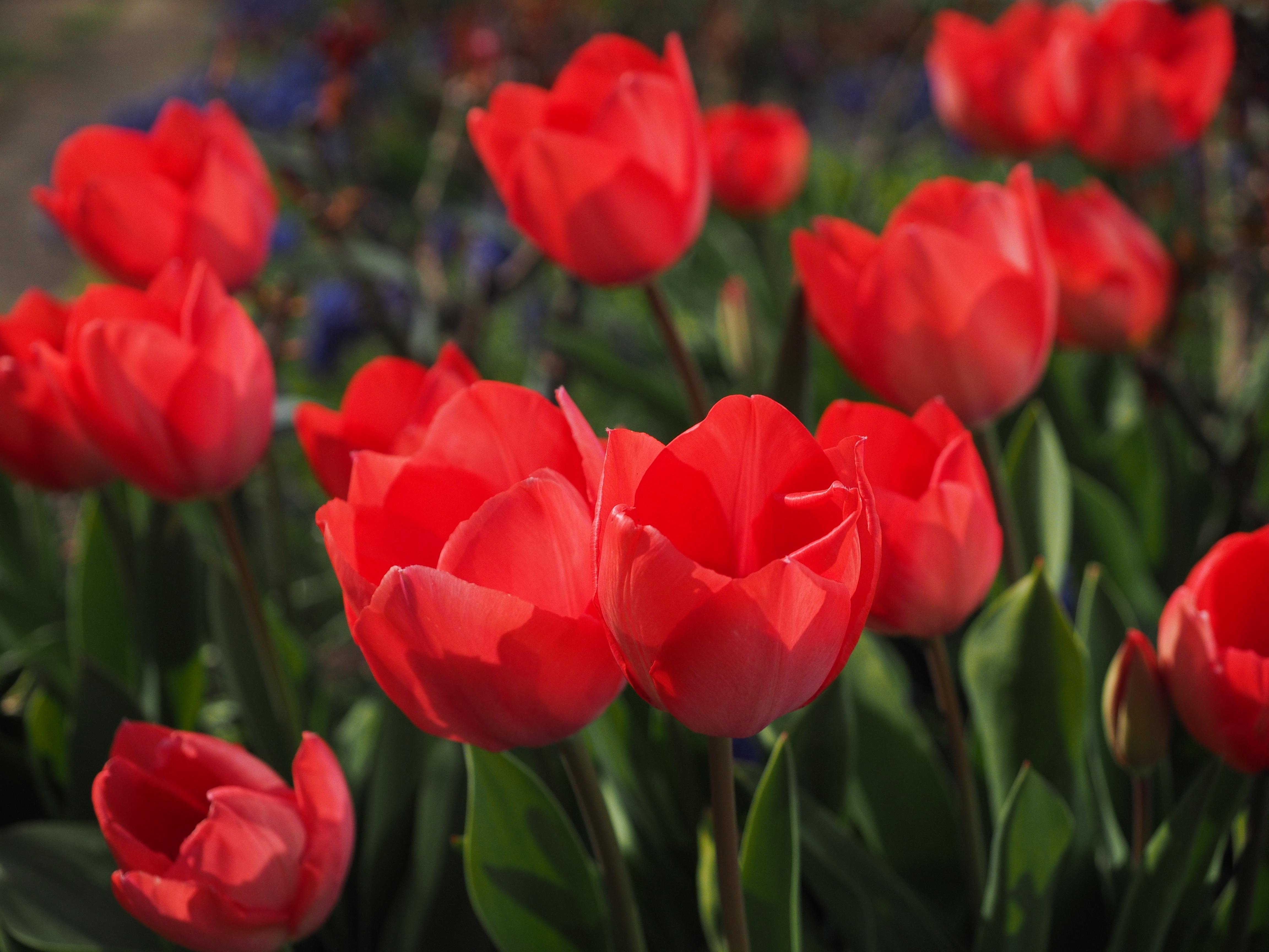 Darmowe Zdjęcia Kwiat Płatek Wiosna Czerwony Kolor