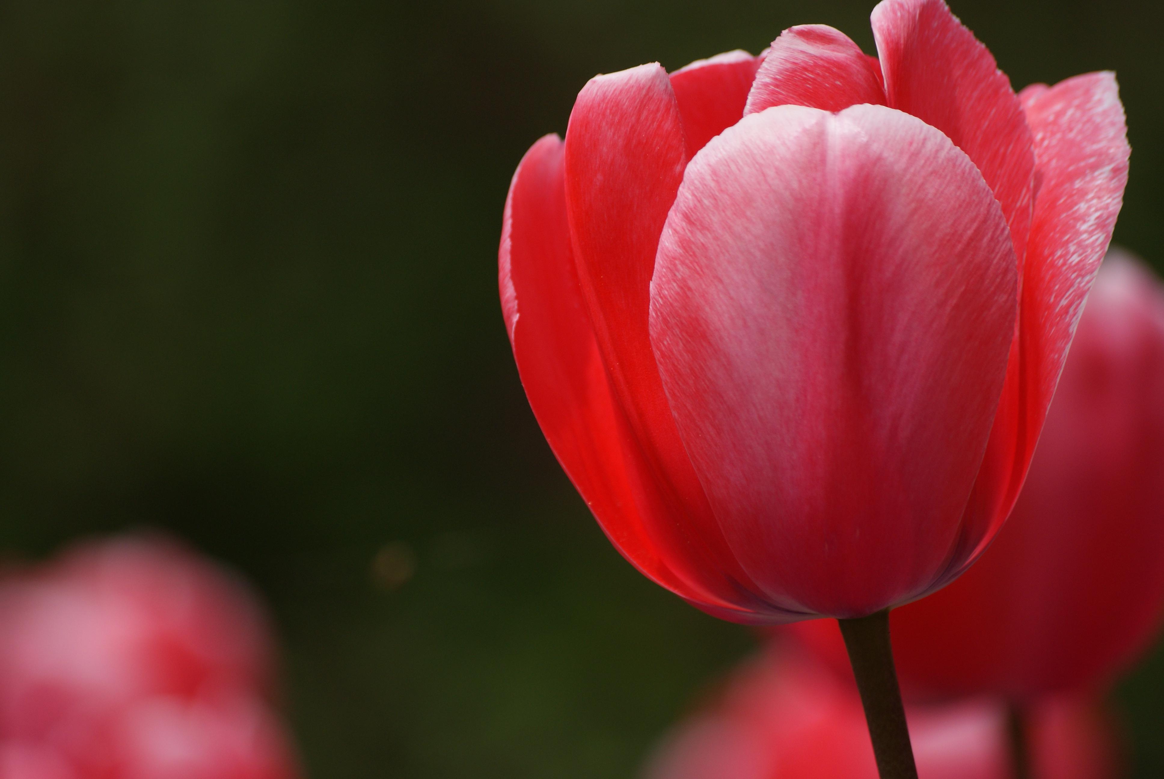 Free Images Flower Petal Tulip Spring Red Flowers