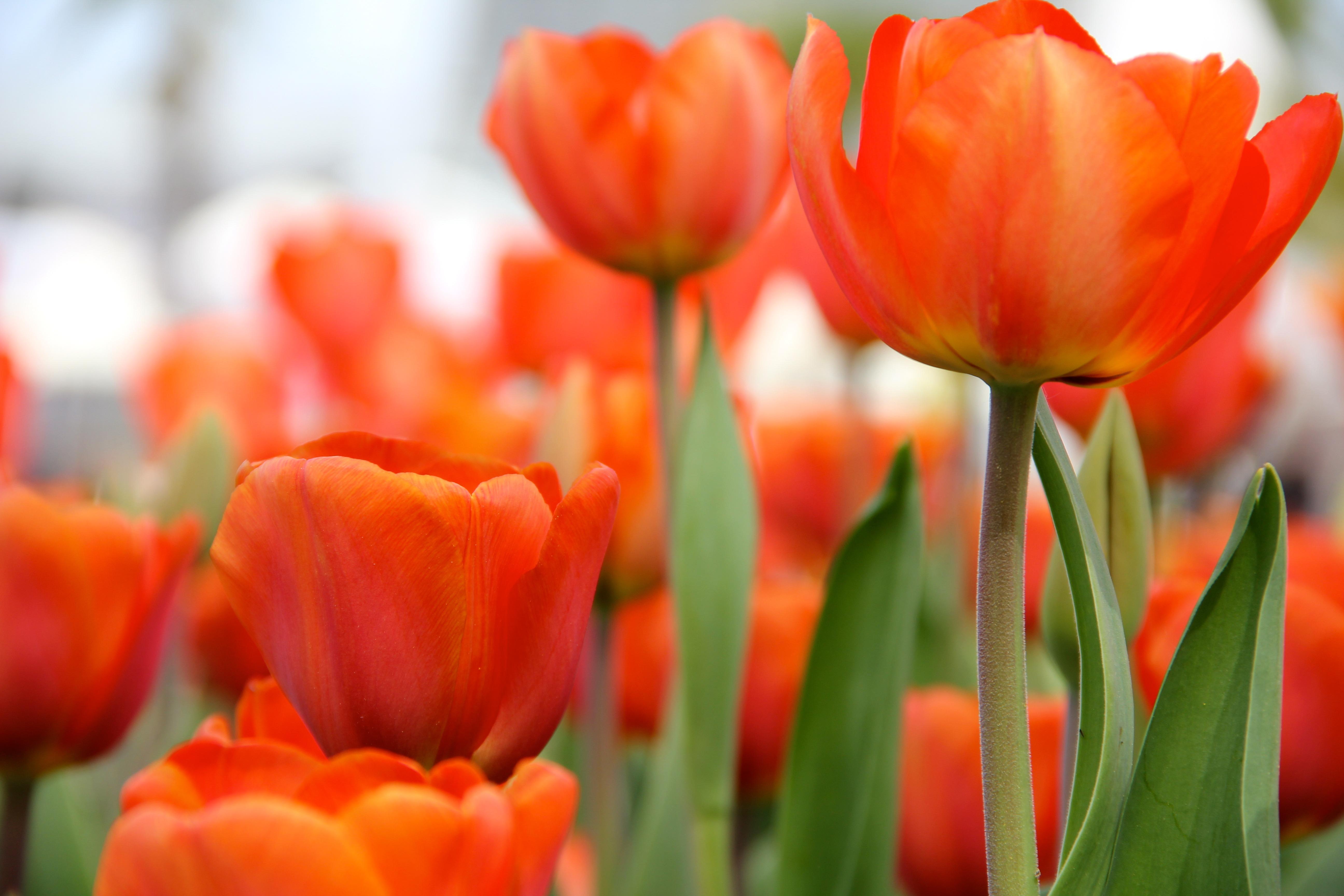 Gambar Menanam Daun Bunga Bunga Tulp Musim Semi Merah Bunga