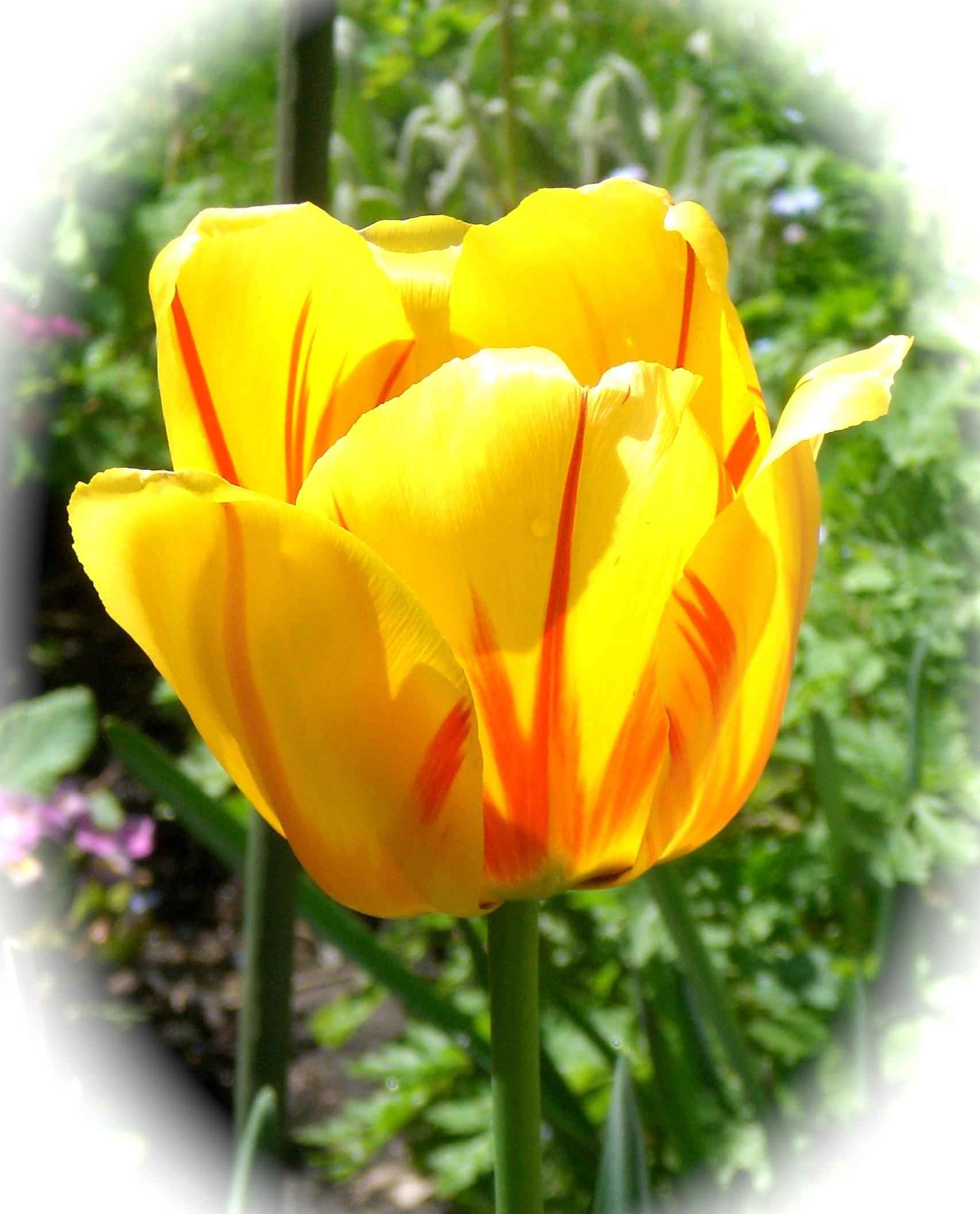 Fotos Gratis Flor Petalo Tulipan Primavera Amarillo Cerca