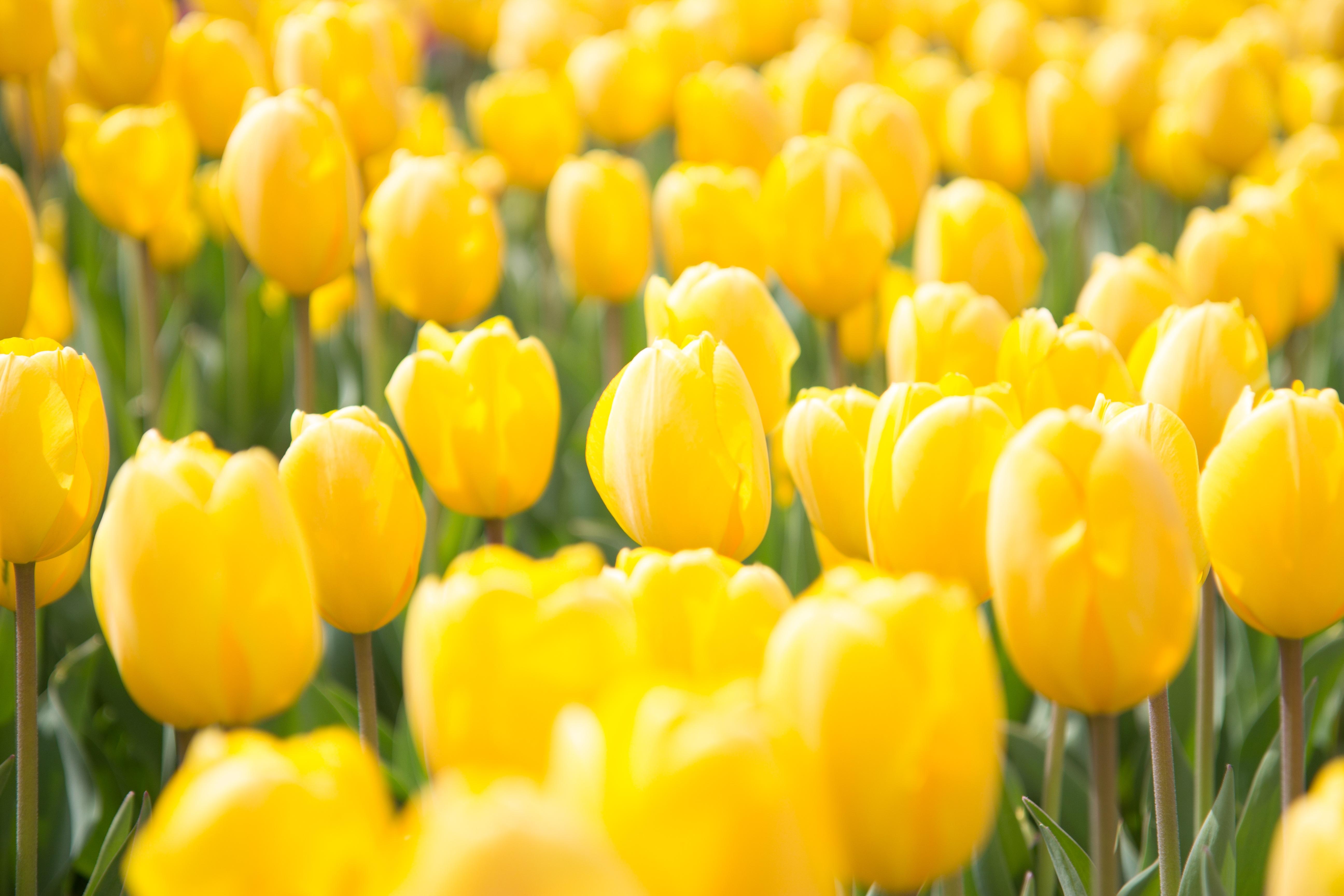 Free Images Flower Petal Tulip Spring Yellow Flowers Macro