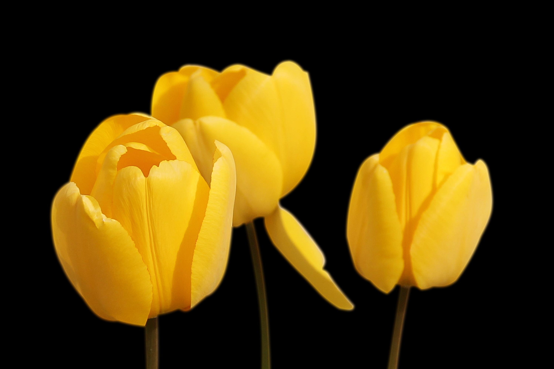 Free images flower petal tulip spring yellow flowers tulips plant flower petal tulip spring yellow flowers tulips flowering plant lily family plant stem land plant mightylinksfo