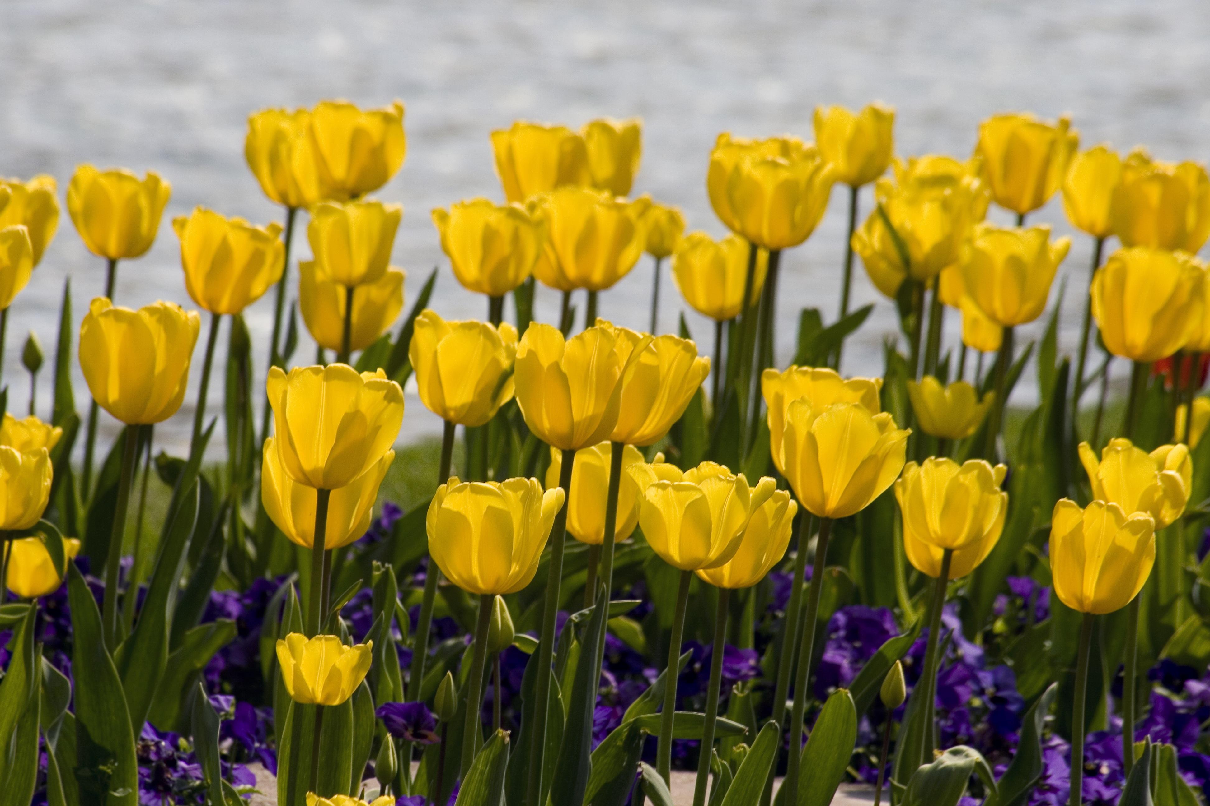 Gambar Menanam Daun Bunga Bunga Tulp Bunga Bunga Tulip Warna Kuning Kemerahan Tanaman Berbunga Tanaman Tanah 3888x2592 749157 Galeri Foto Pxhere
