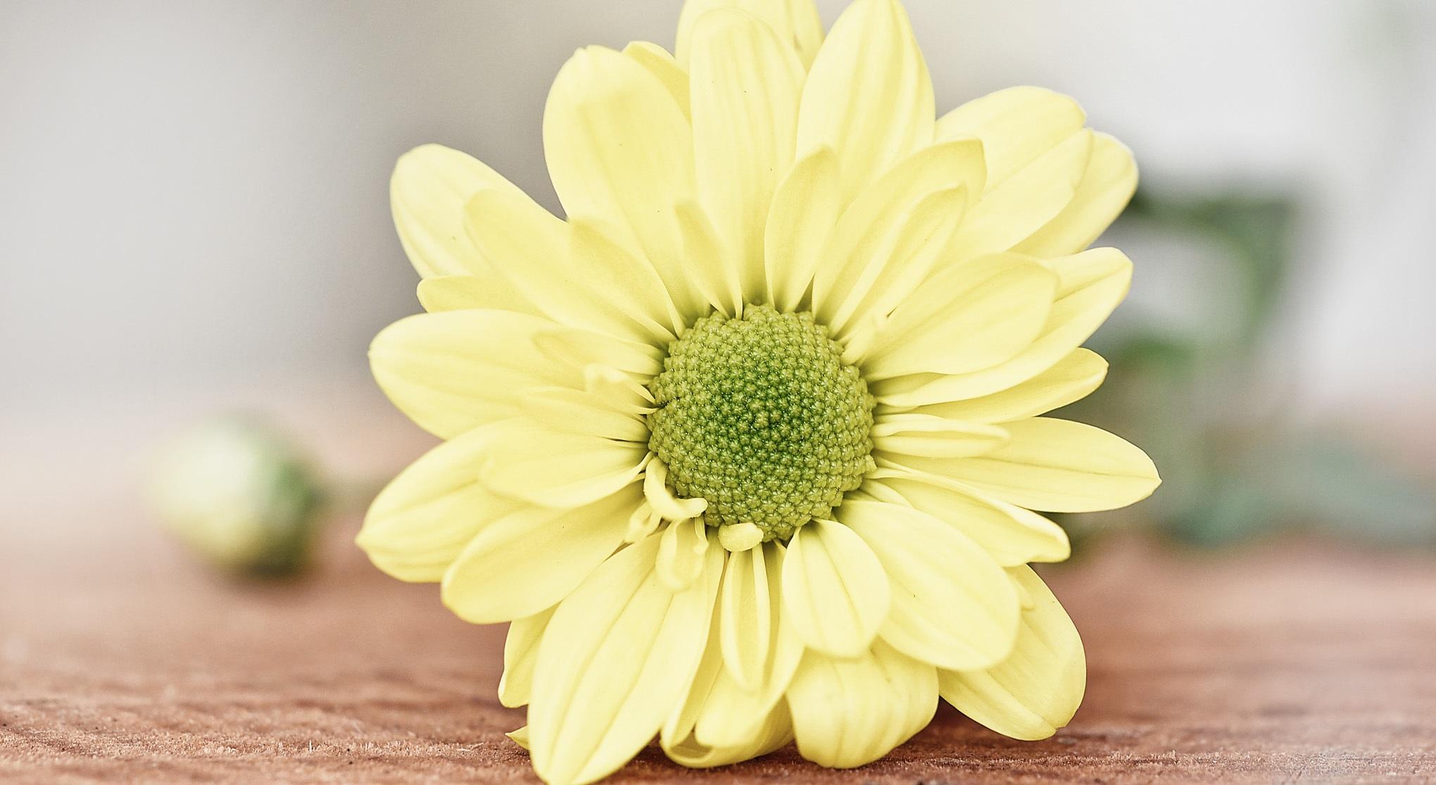 Free Images Petal Yellow Flower Flowers Close Up Gerbera