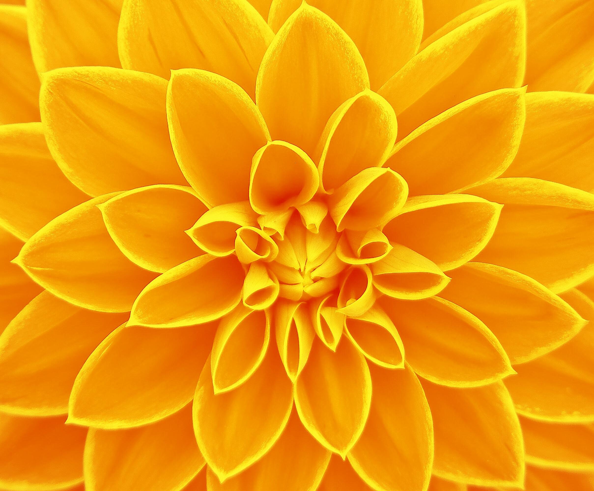 Images Gratuites : fleur, pétale, jaune, dahlia, Contexte, brillant, Gerbera, Macrophotographie ...