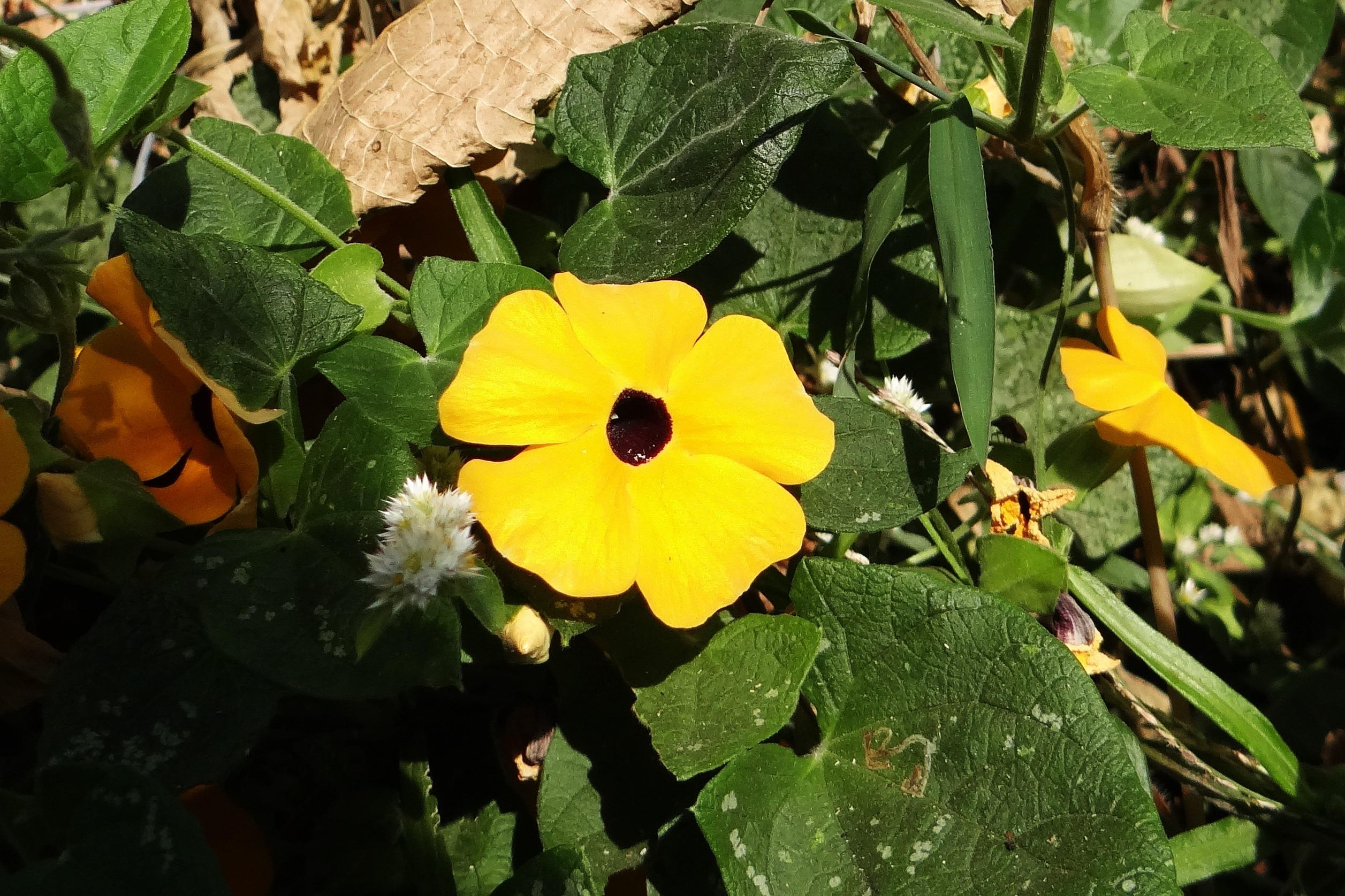 Free Images Produce Botany Yellow Dharwad Thunbergia Alata