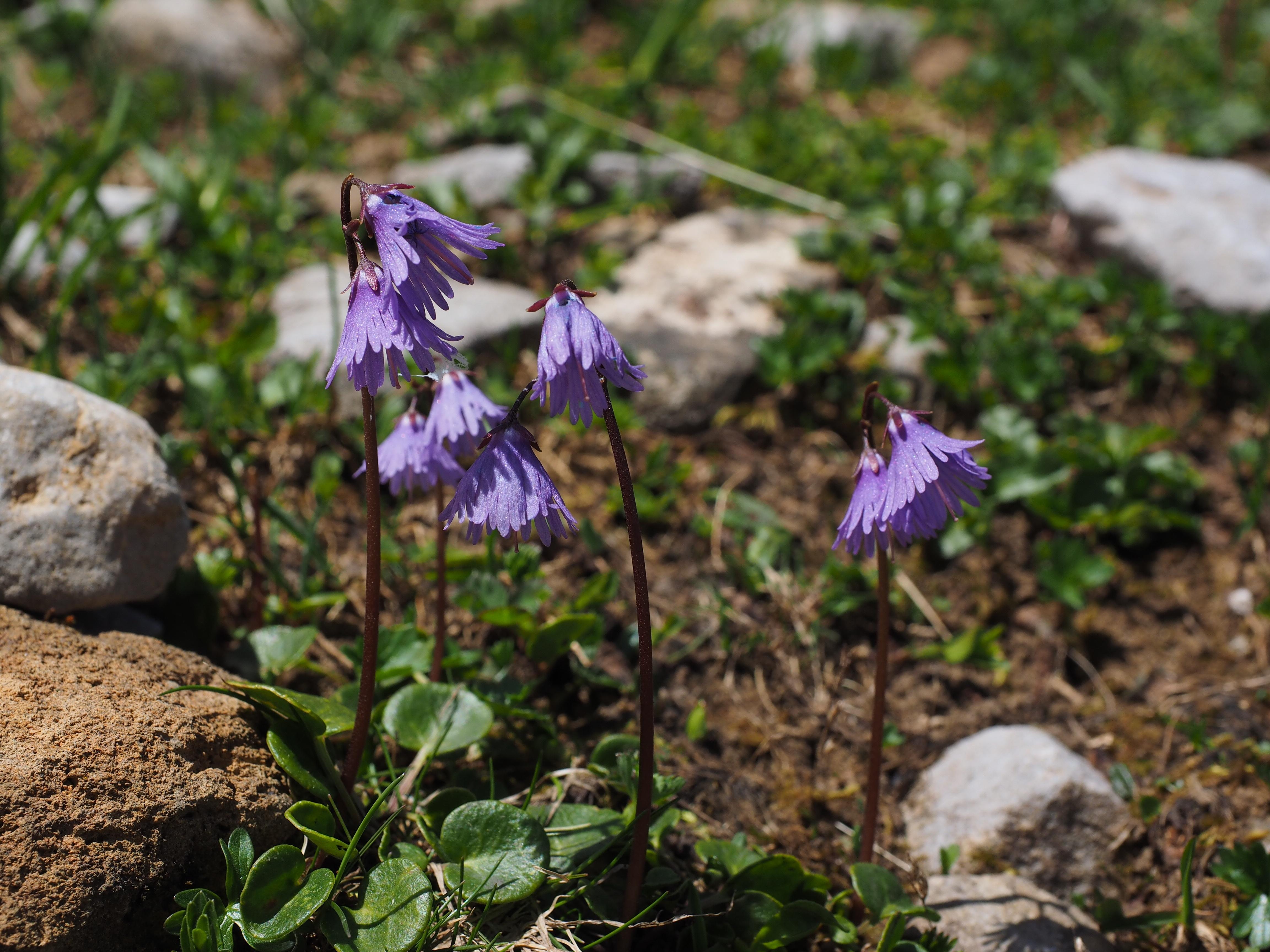 kostenlose foto blume lila bl hen kraut botanik flora wildblume blumen violett viola. Black Bedroom Furniture Sets. Home Design Ideas