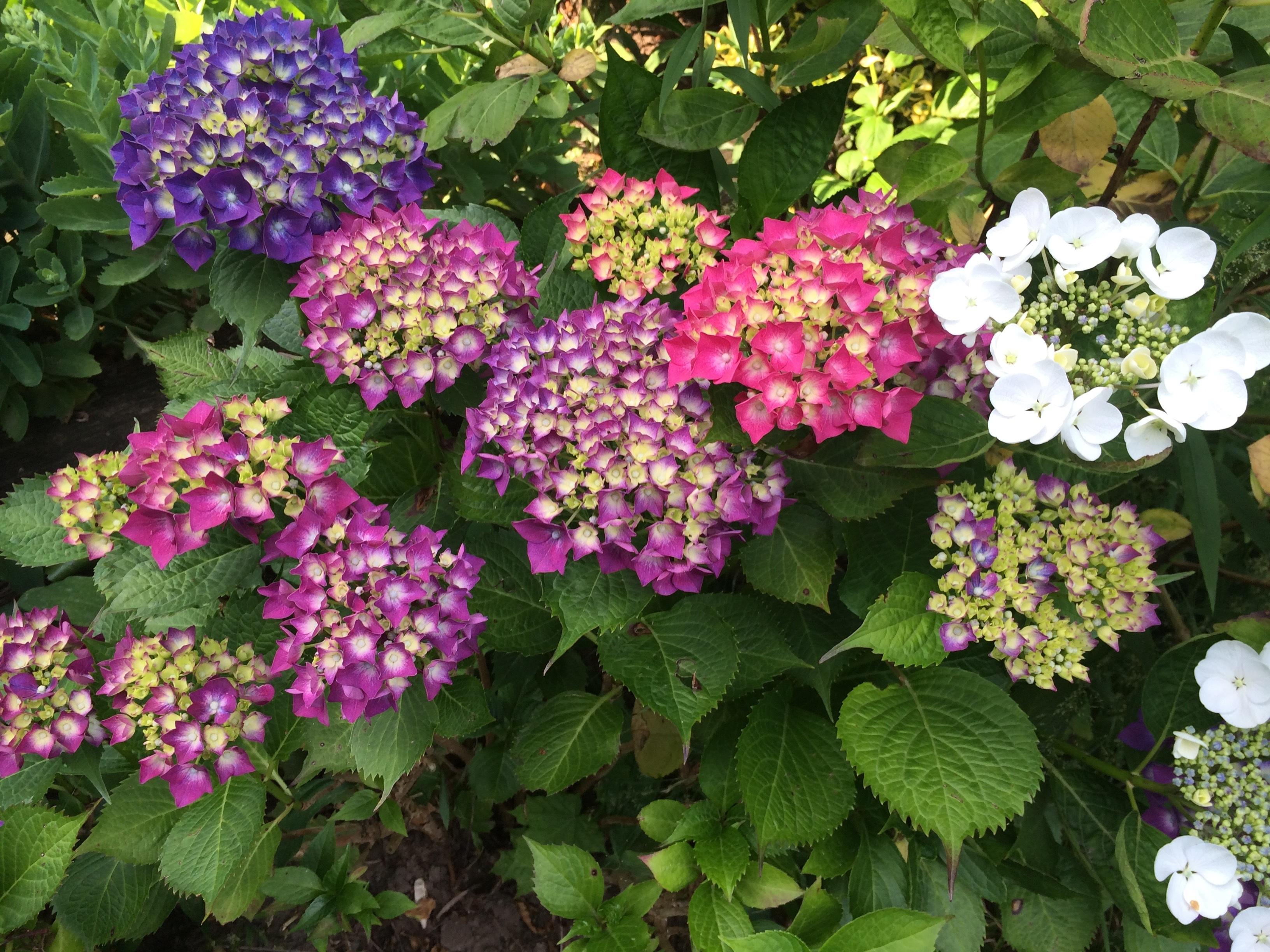 Struiken Met Bloemen Voor In De Tuin.Gratis Afbeeldingen Fabriek Purper Bloeien De Lente