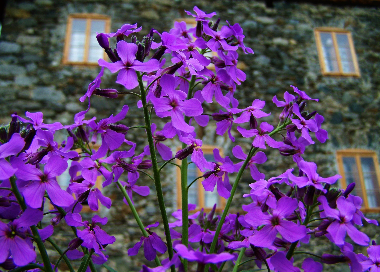 Images Gratuites Violet Botanique Flore Fleur Sauvage Jardin