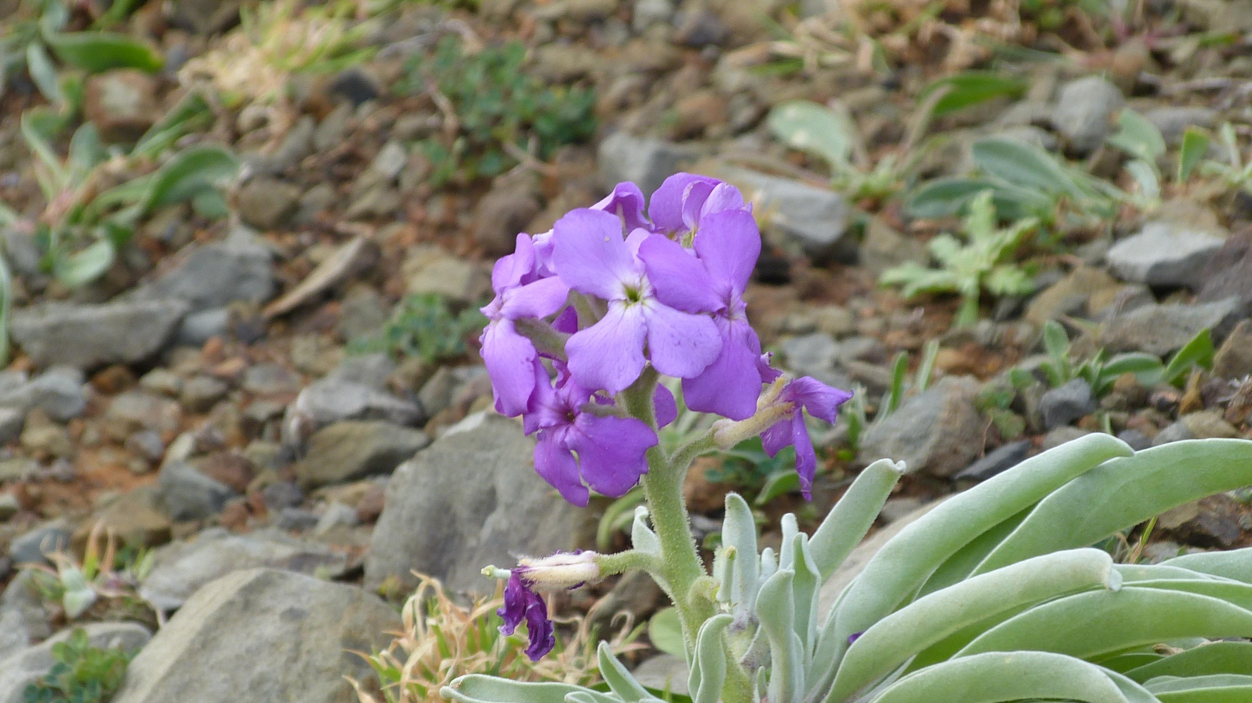 Images gratuites fleur violet botanique jardin flore fleur sauvage portugal mad re - Image fleur violette gratuite ...