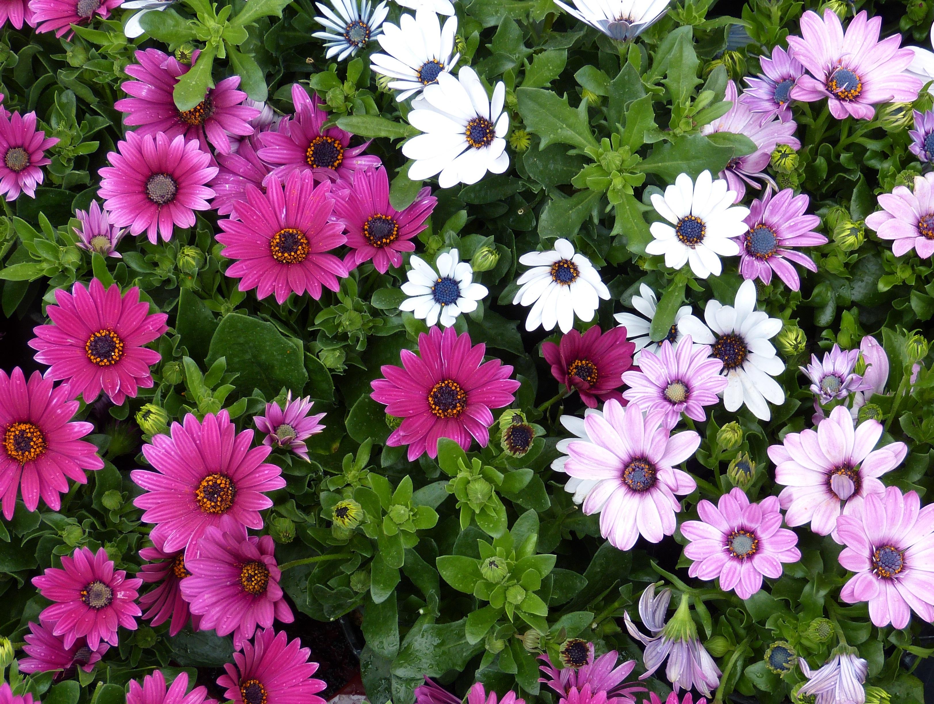 Images Gratuites : fleur, violet, jardinage, aster, souci, plante à fleurs, Famille de ...