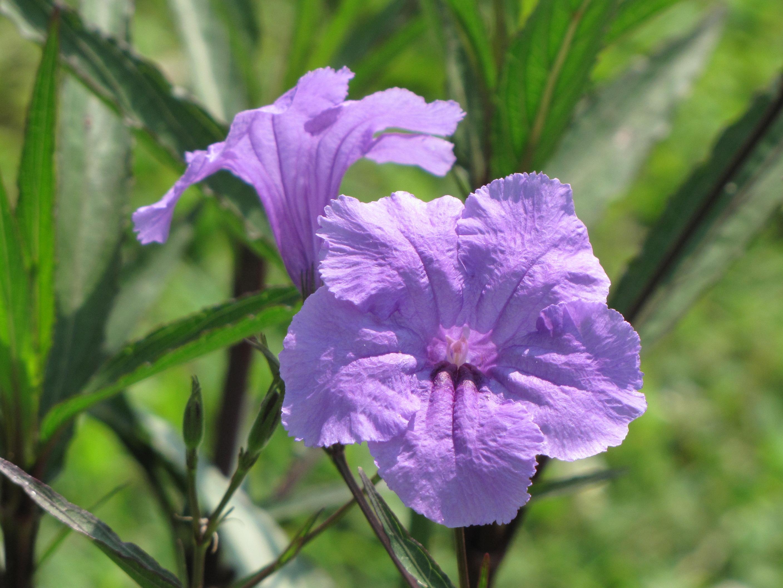 Perennials flowers paprika yarrow best flowering for Ornamental vegetable plants