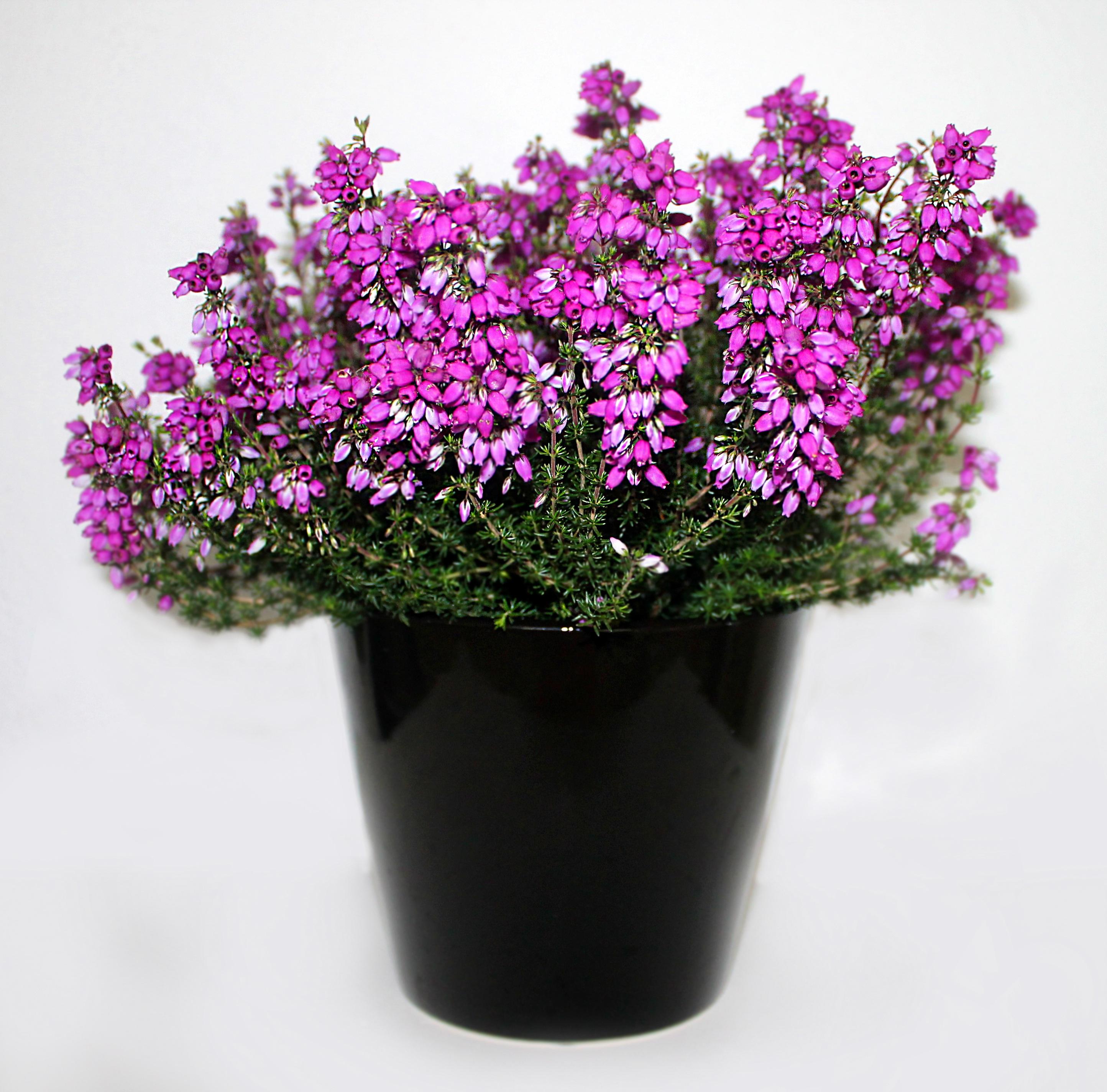 Fotos gratis flor p rpura hierba rosado lavanda for Plantas en macetas para exterior fotos