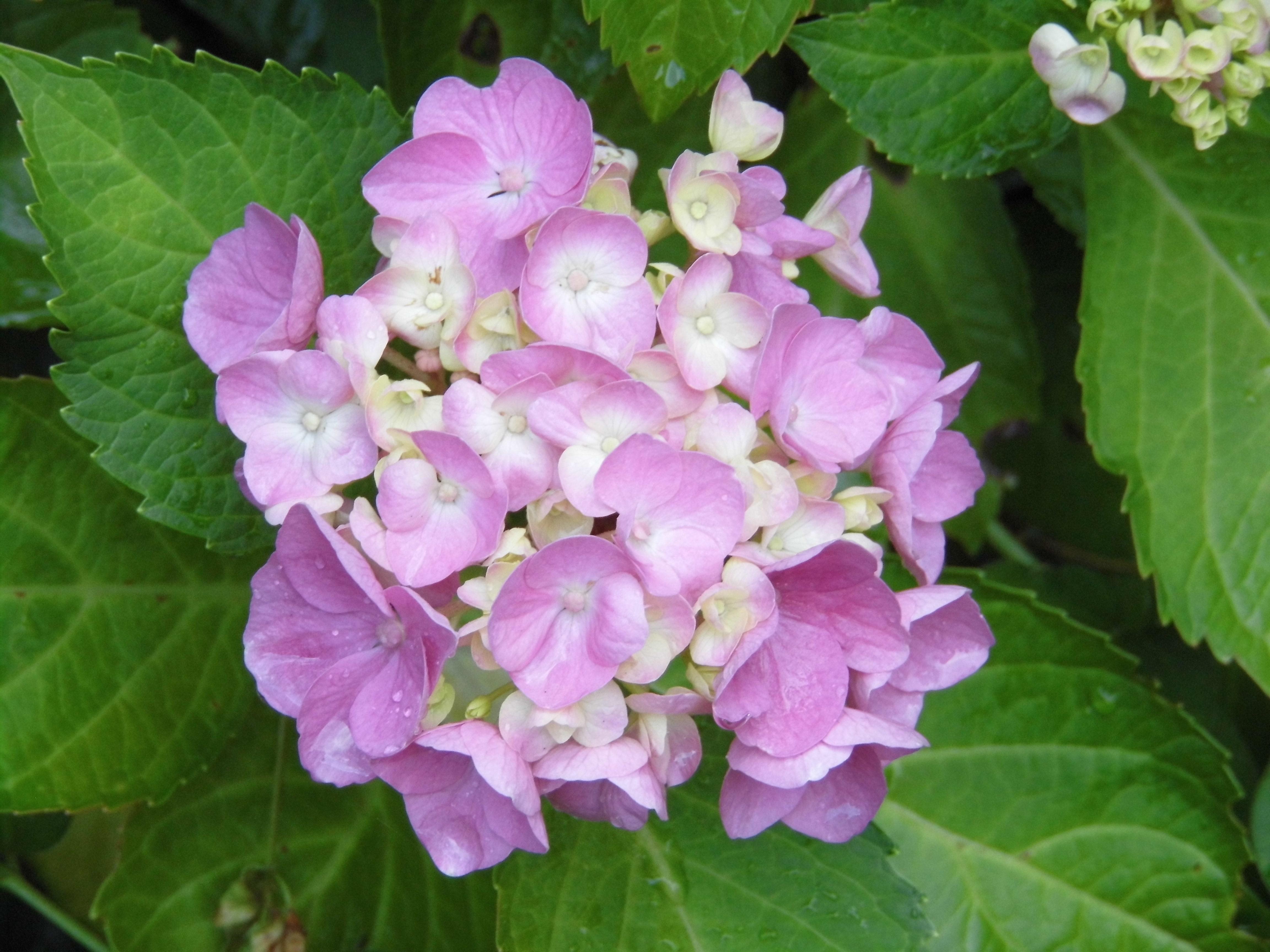 Gratis Billeder Blomst Lilla Blomster Busk Rosenblade