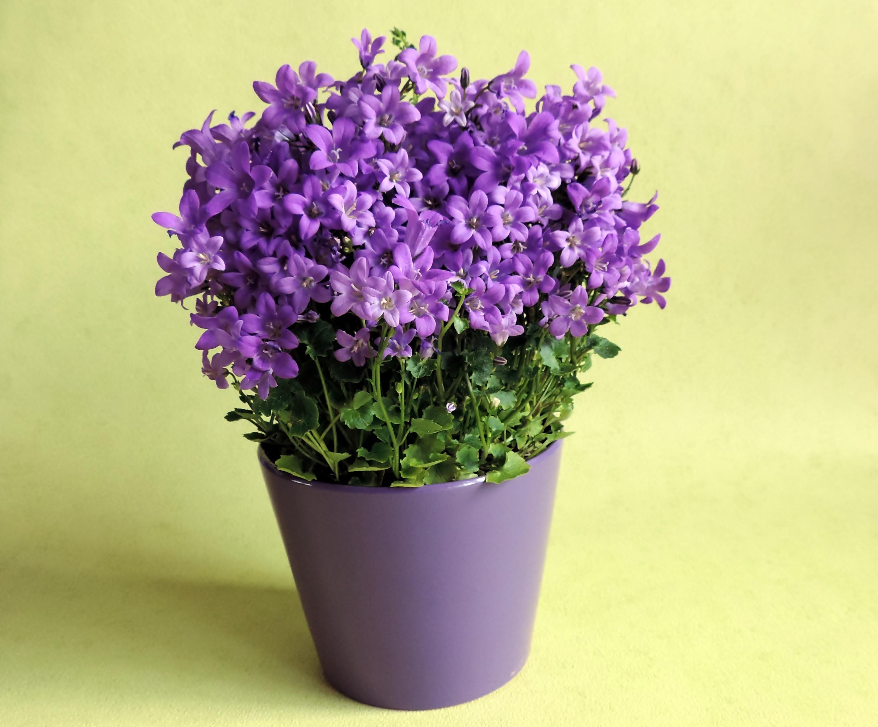Plant Flower Purple Lavender Flowers Pot Potted Violet Flowerpot Hyacinth Flowering Land English