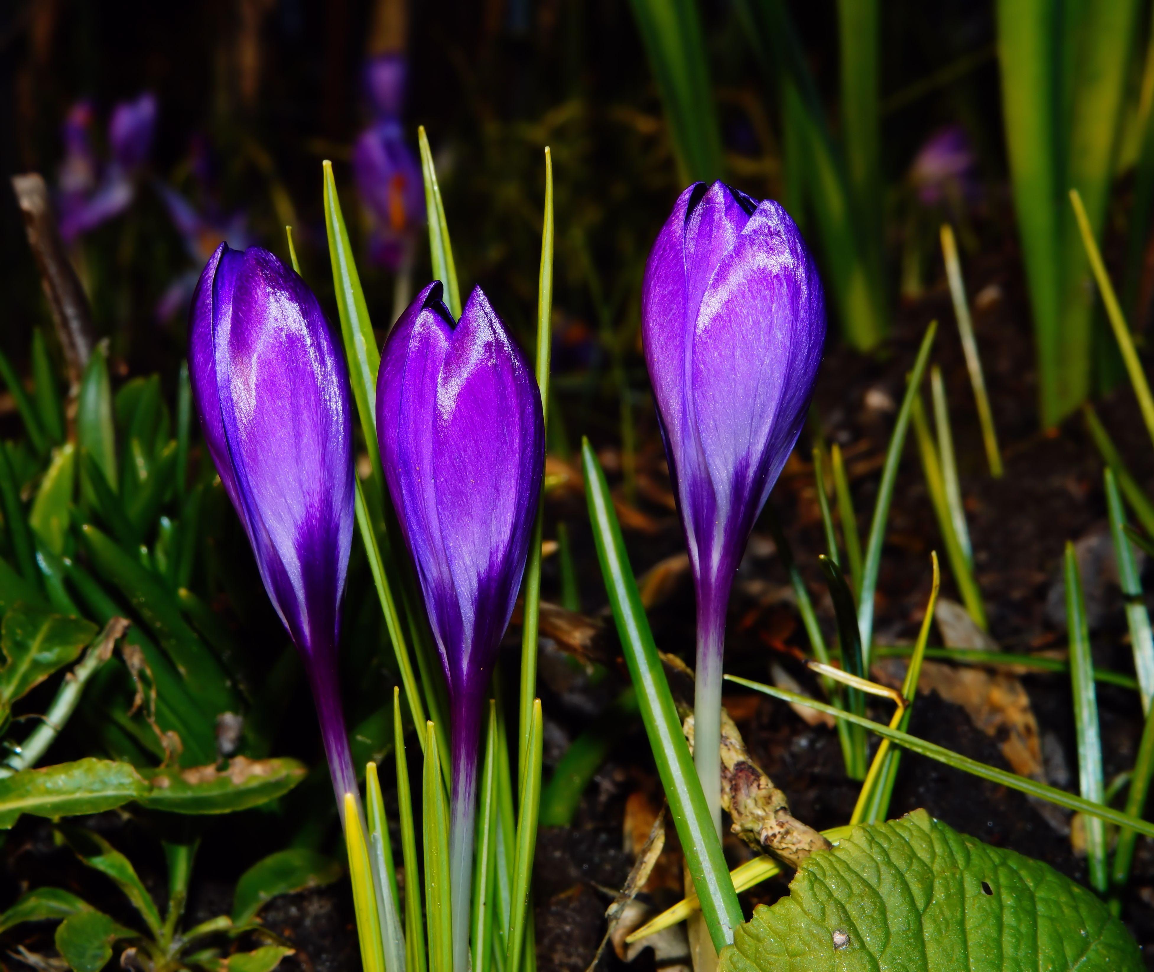 gratis afbeeldingen fabriek bloem purper bloemblad