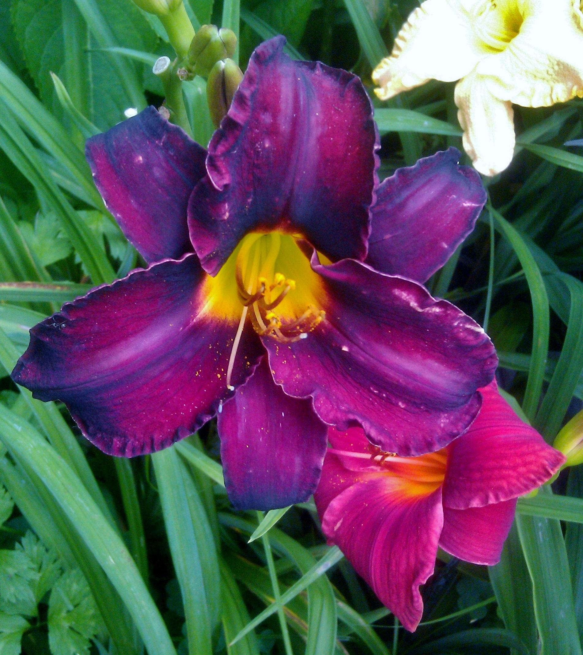 Free images flower purple petal bloom summer garden daylily plant flower purple petal bloom summer garden daylily day lily flowering plant land plant izmirmasajfo Images