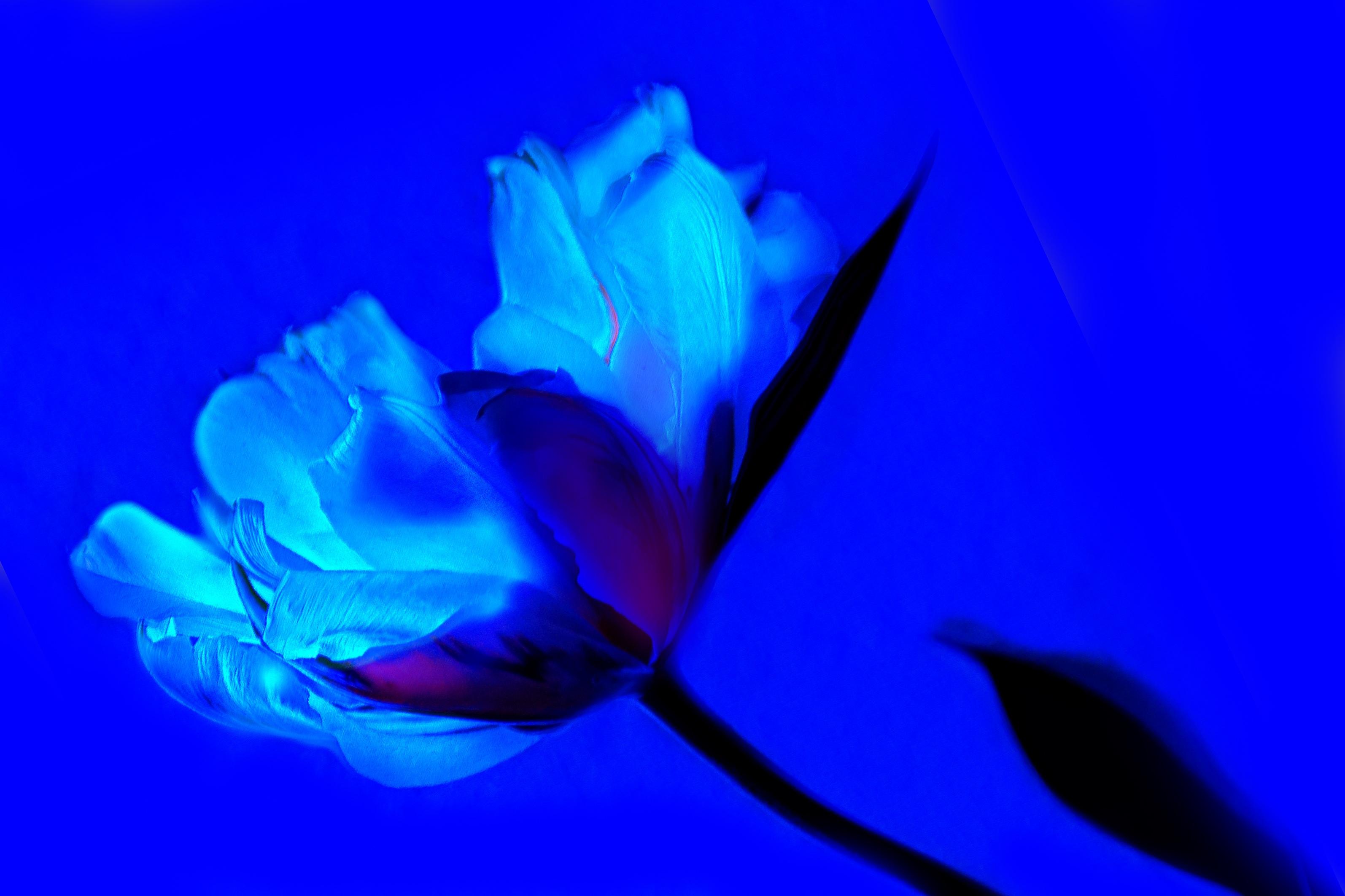 Gambar Menanam Ungu Daun Bunga Berkembang Bunga Tulp Mawar
