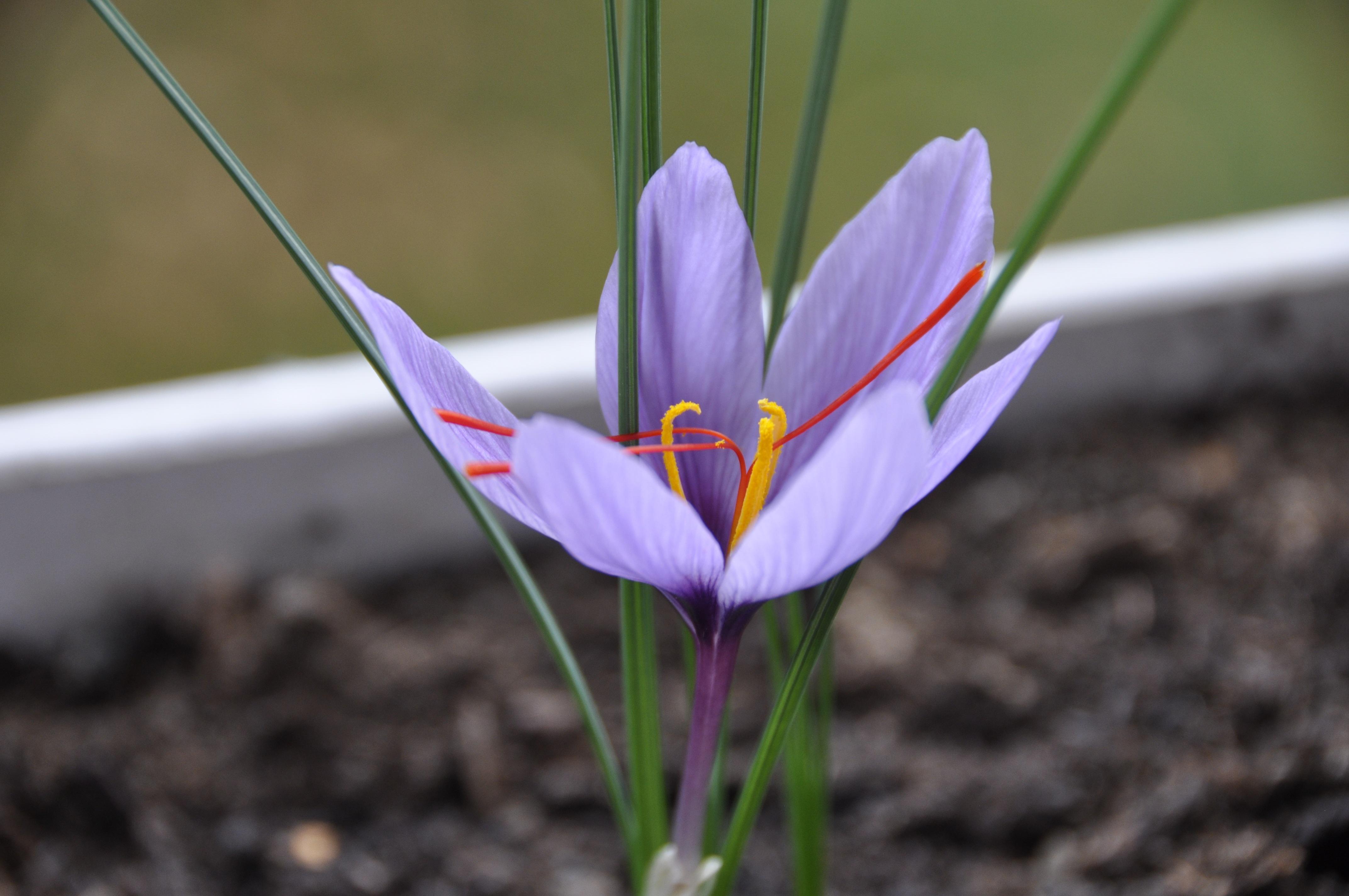 пуританскую сдержанность трава шафран фото более теплых областях