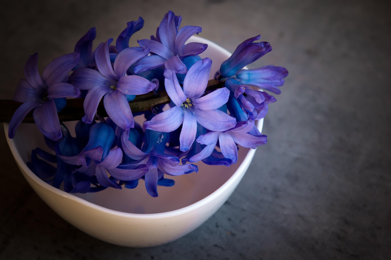 Free Images Purple Petal Bowl Close Blue Flower Deco Violet