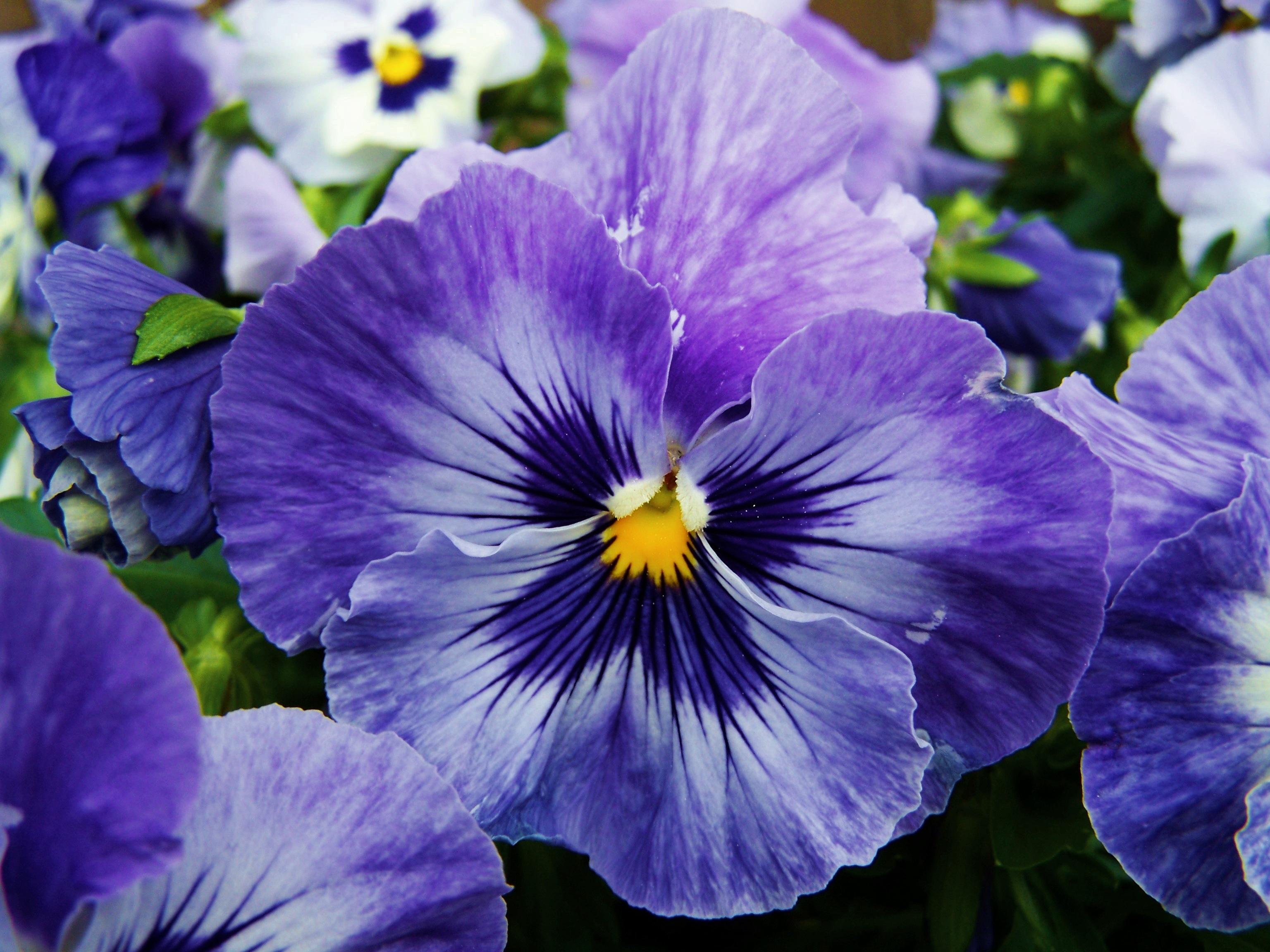 Free Images Petal Flora Iris Eye Flower Garden Spring Flower