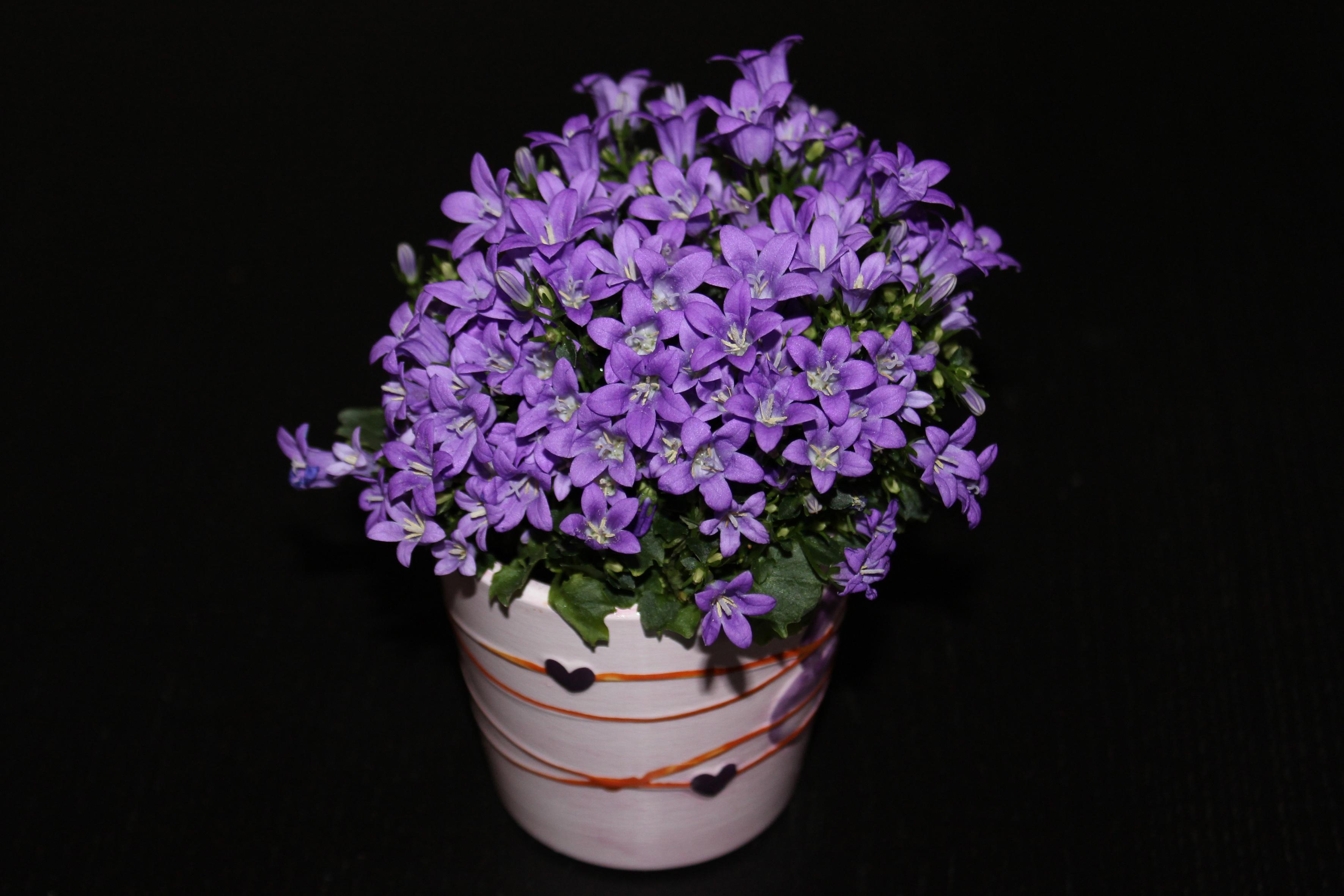 Free images purple petal flora flowers violet lilac plant flower purple petal flora lavender flowers violet lilac floristry hyacinth macro photography flowering plant flower dhlflorist Choice Image