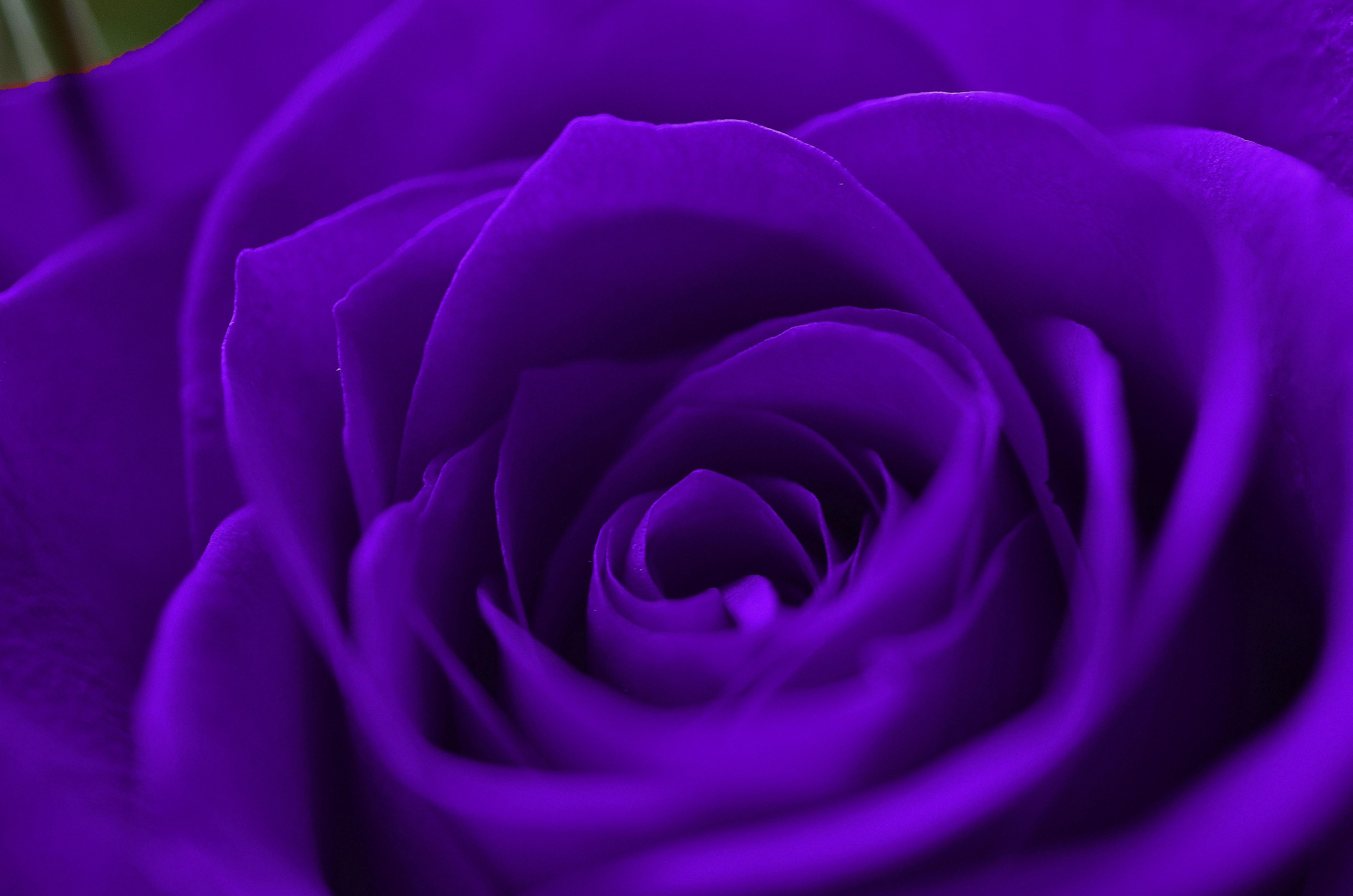 Plant Flower Purple Petal Love Rose Red Color Macro Romance Romantic Pink  Wedding Roses Violet Valentine