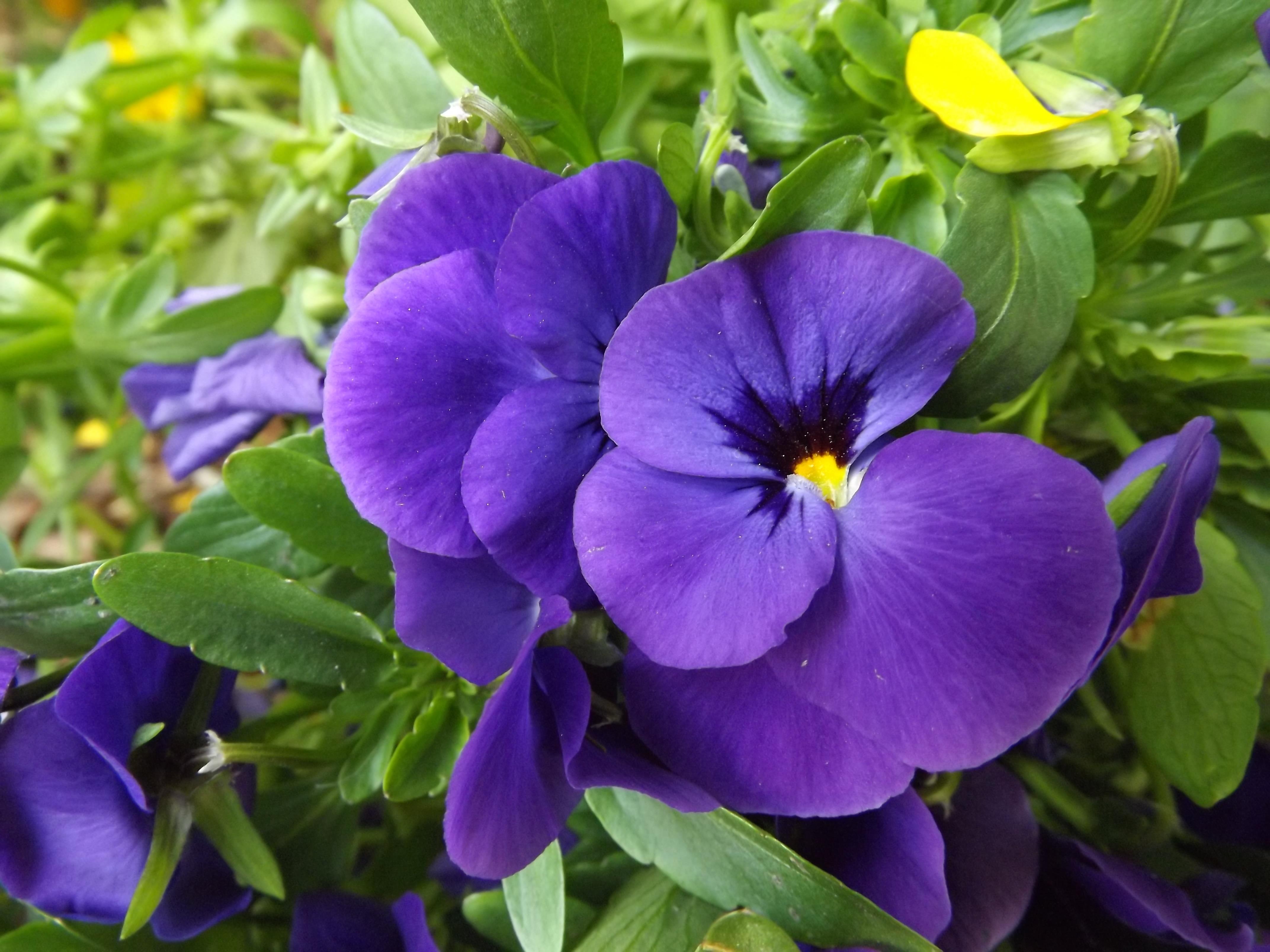 Images gratuites violet p tale macro flore fleur mauve debrecen hongrie alto pens e - Image fleur violette gratuite ...