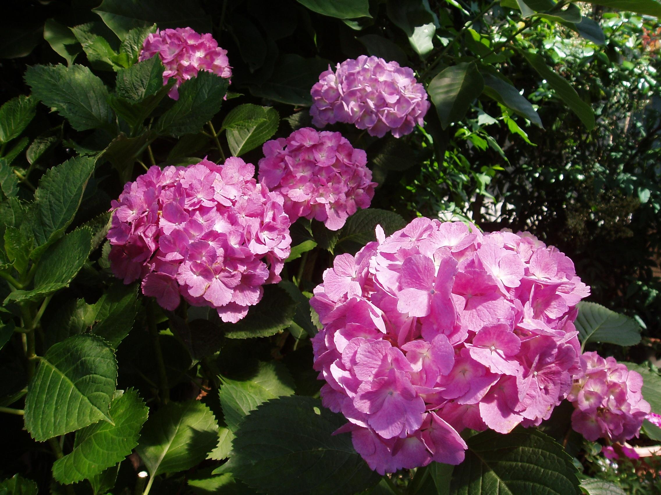 Free Images : Purple, Petal, Natural, Botany, Pink, Flora