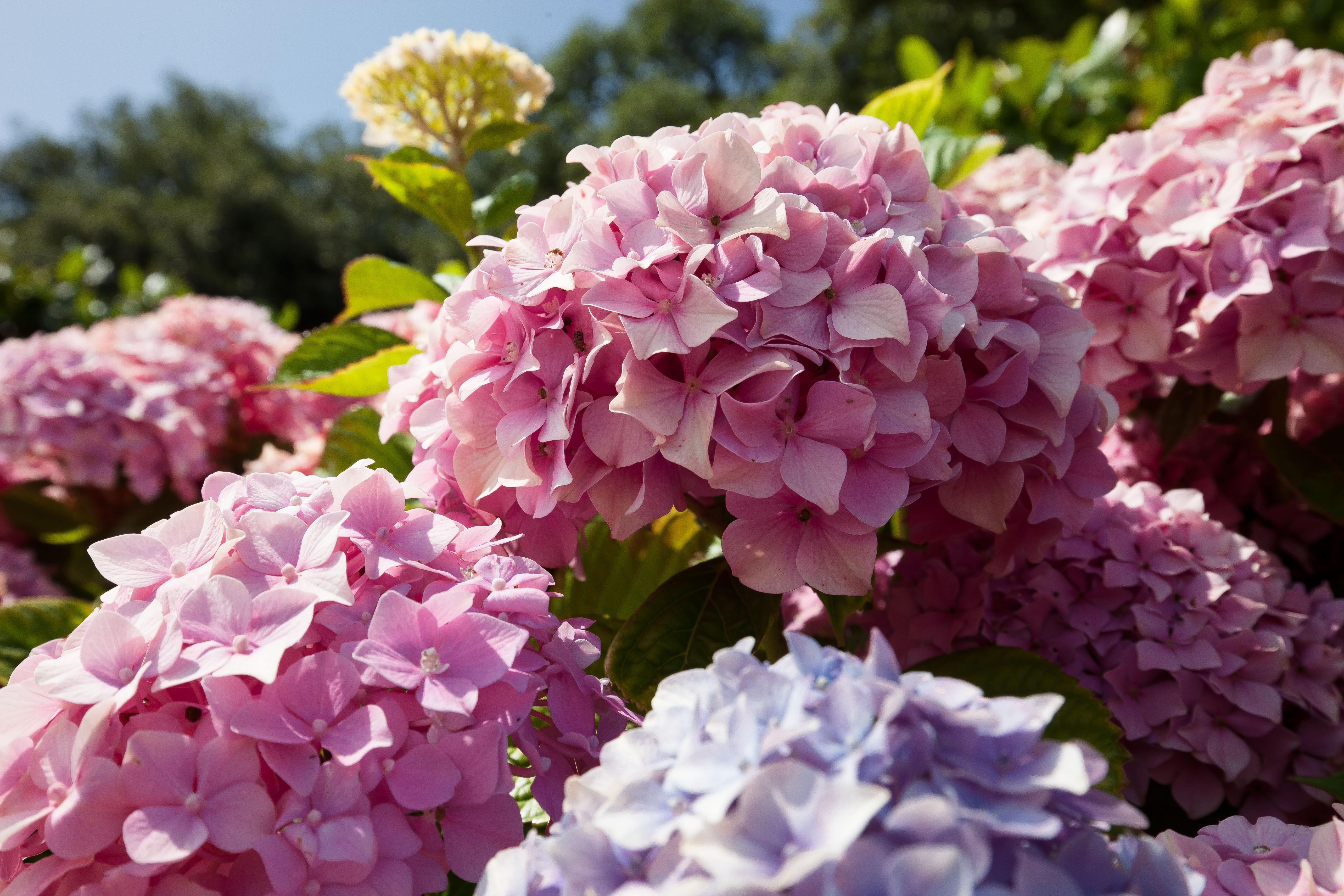 arbustos plantas de hortensias cornales planta anual planta de tierra mostrar flores spalos de colores x