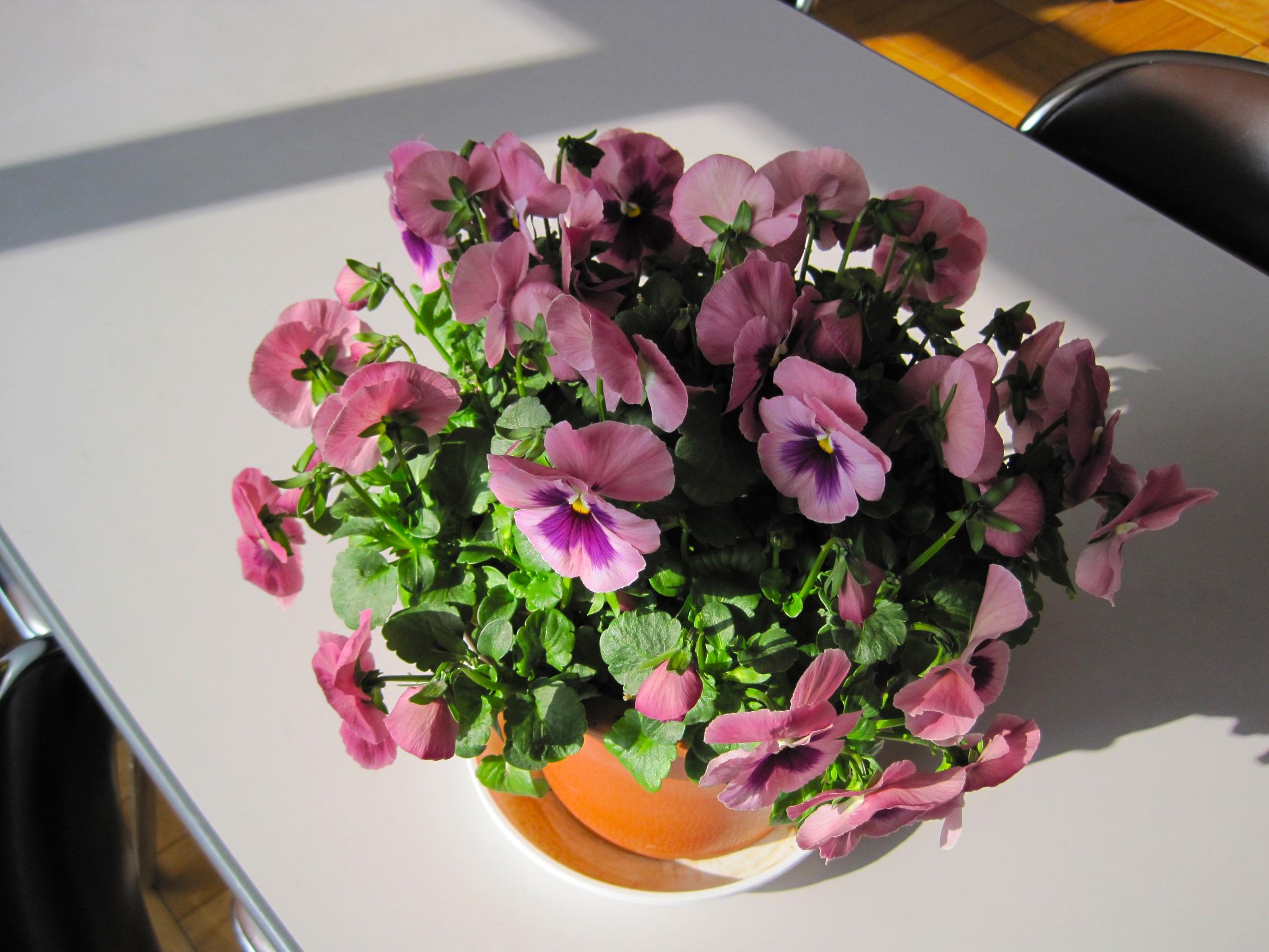 Free Images : purple, petal, pot, colorful, pink, flora, floristry ...