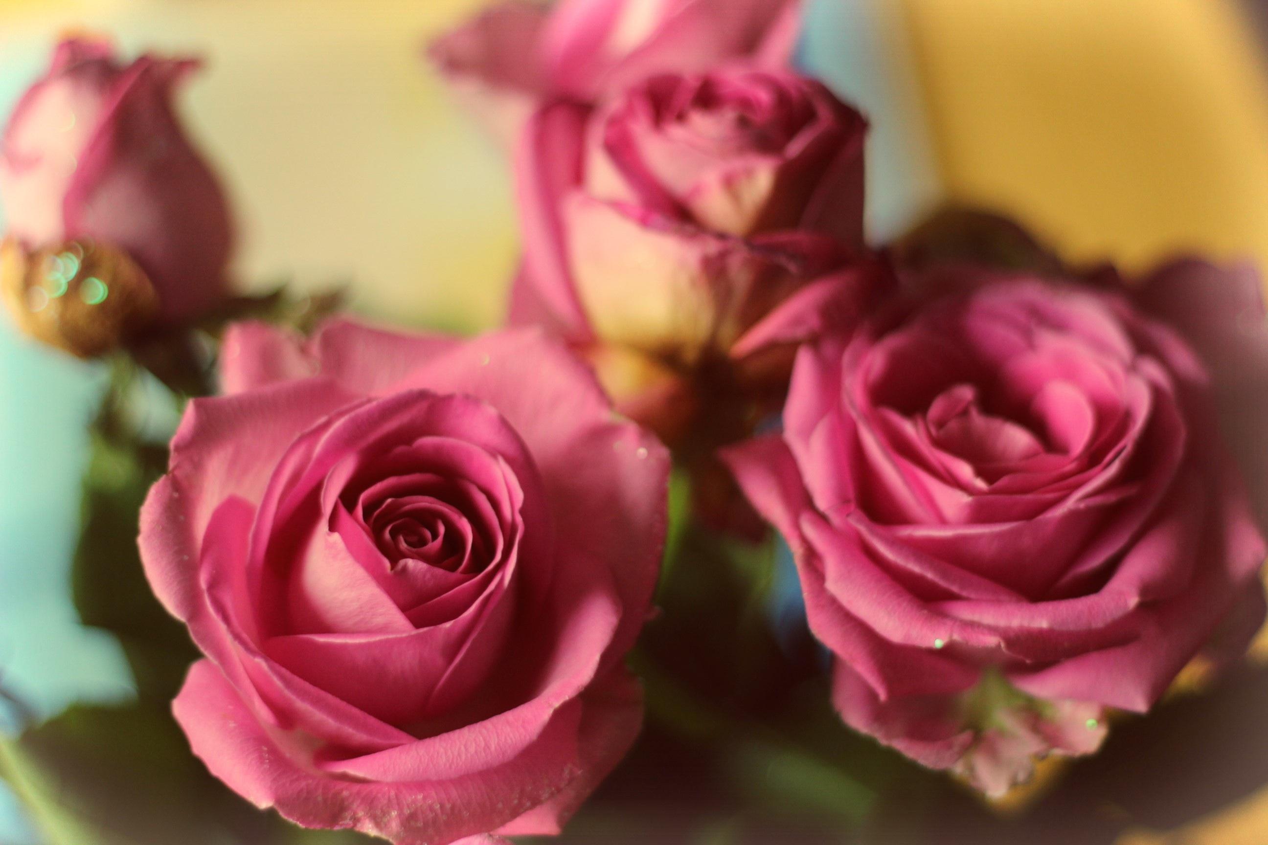 無料画像 工場 紫の 花弁 ローズ ピンク フローリストリー マクロ撮影 開花植物 庭のバラ