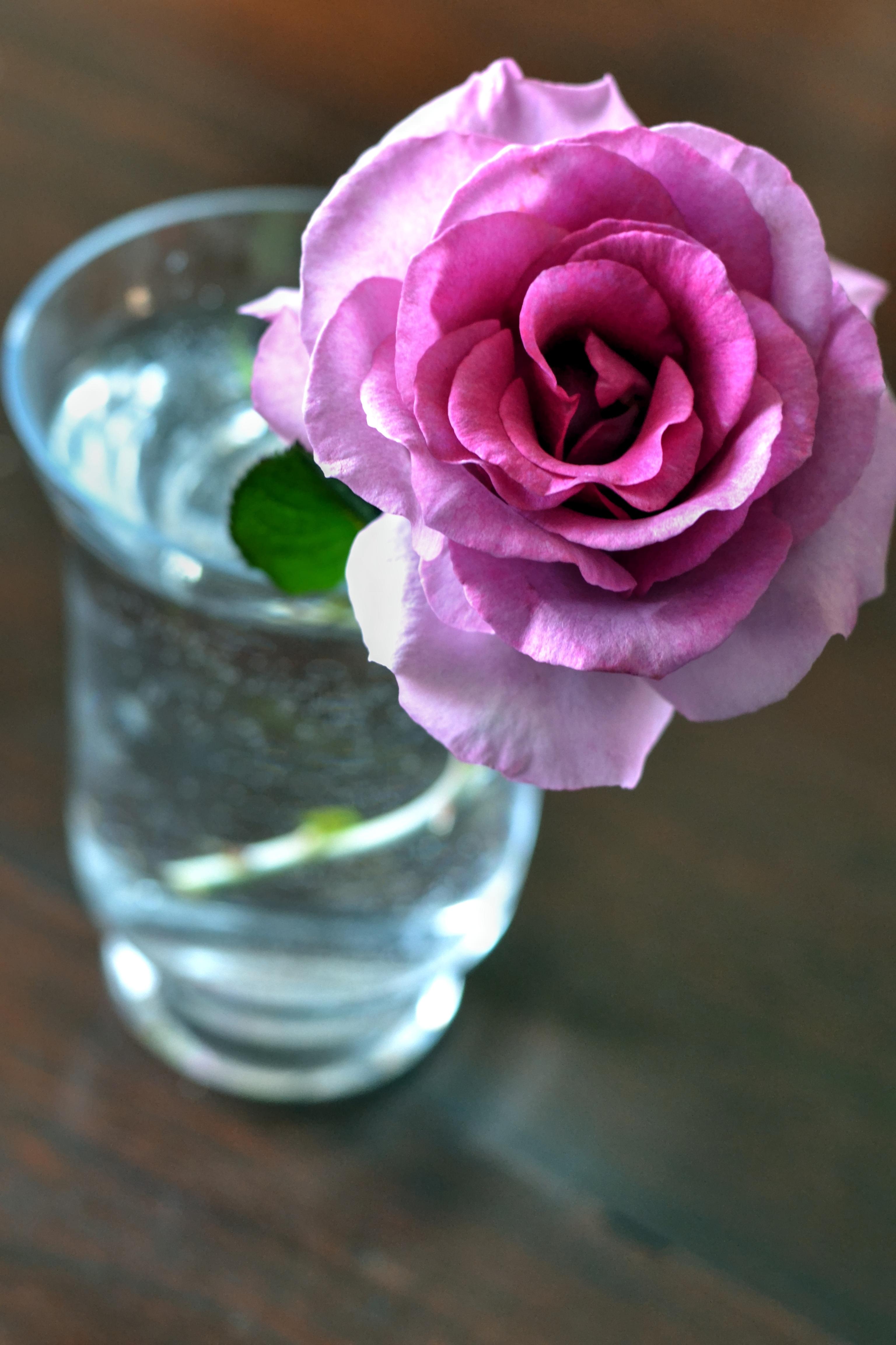 menanam bunga ungu daun bunga mawar musim semi berwarna merah muda pot bunga mawar merah muda