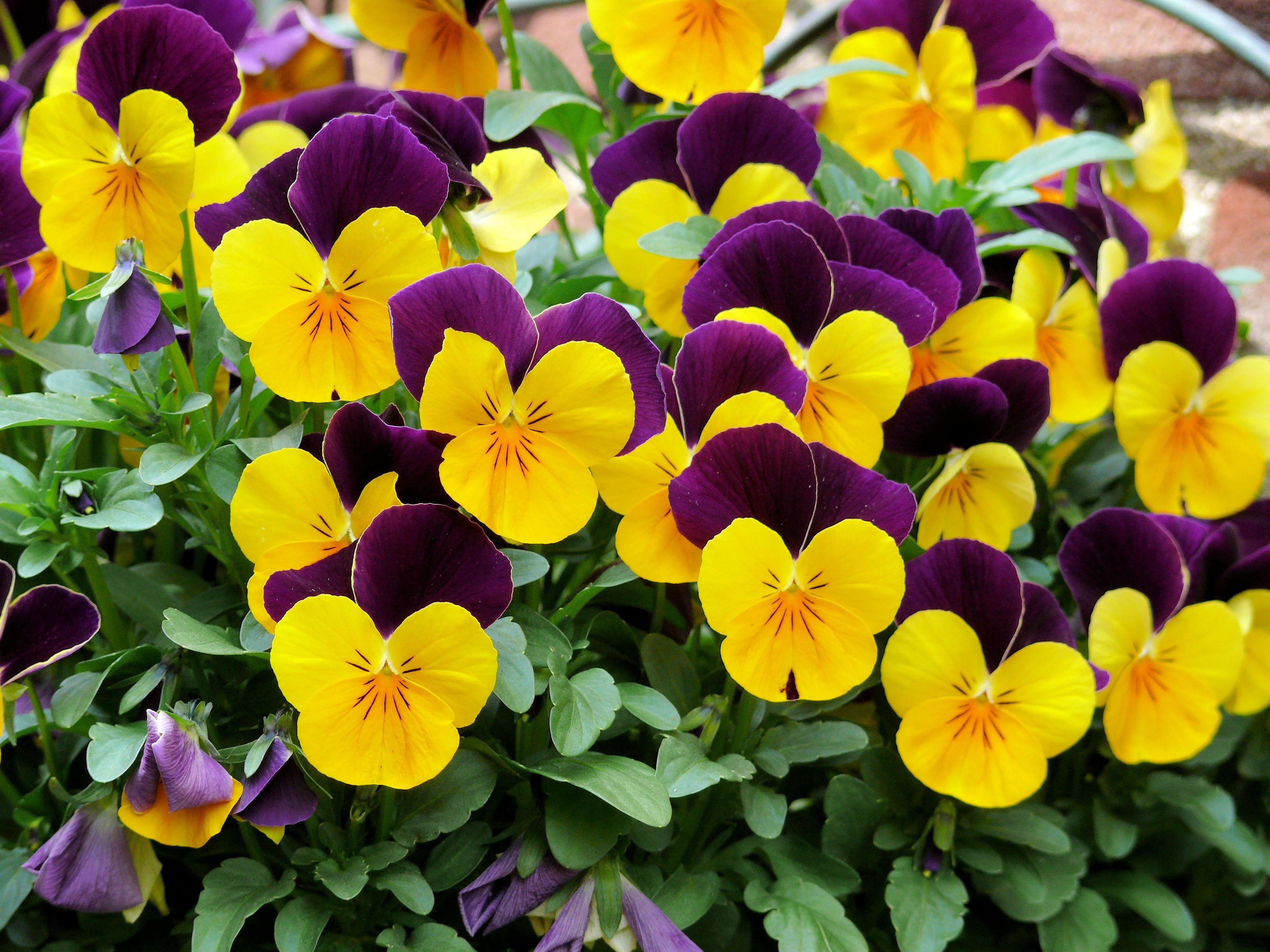 Free Images Flower Purple Petal Spring Botany Yellow Garden