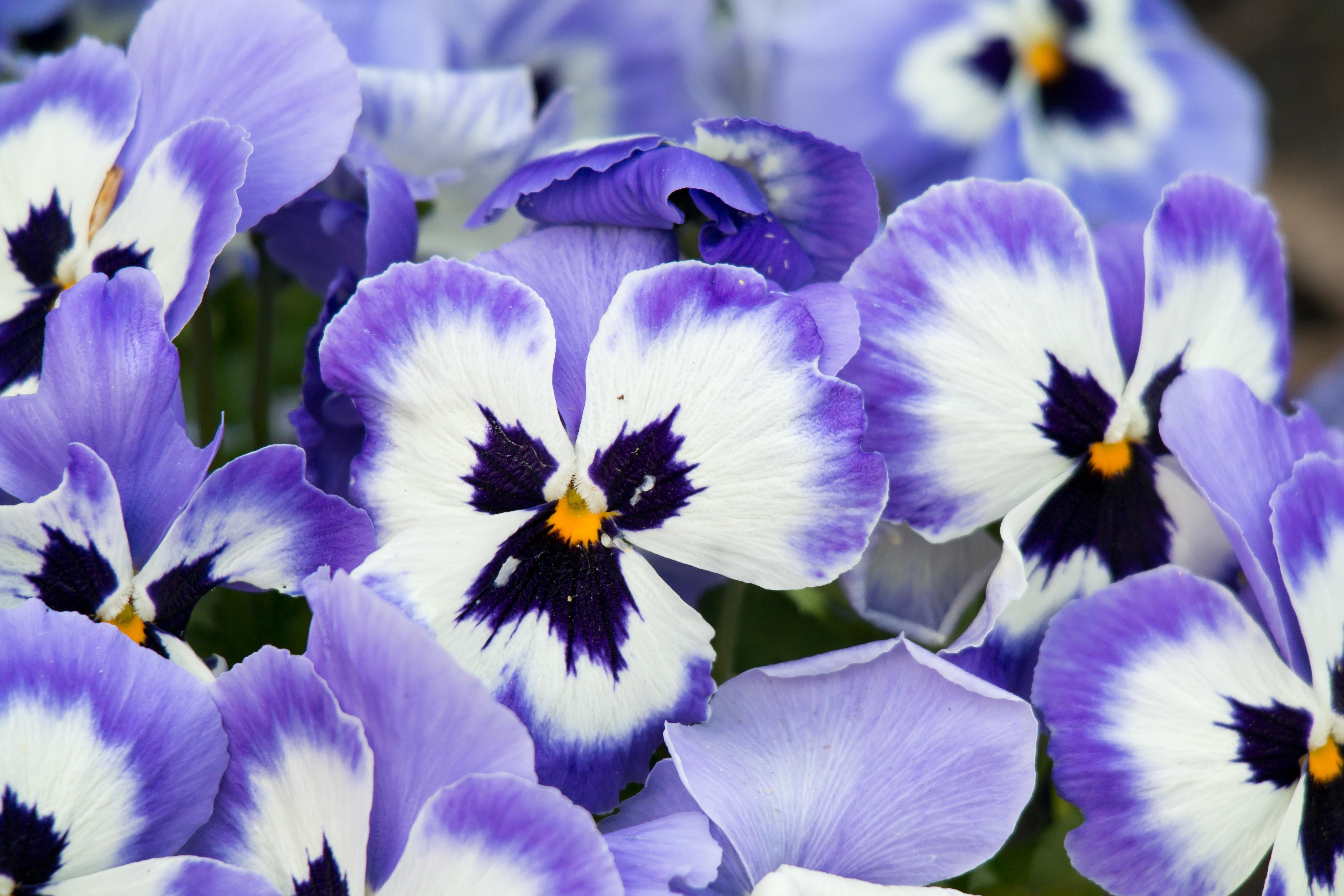 отличие цветы анютины глазки с картинками статья