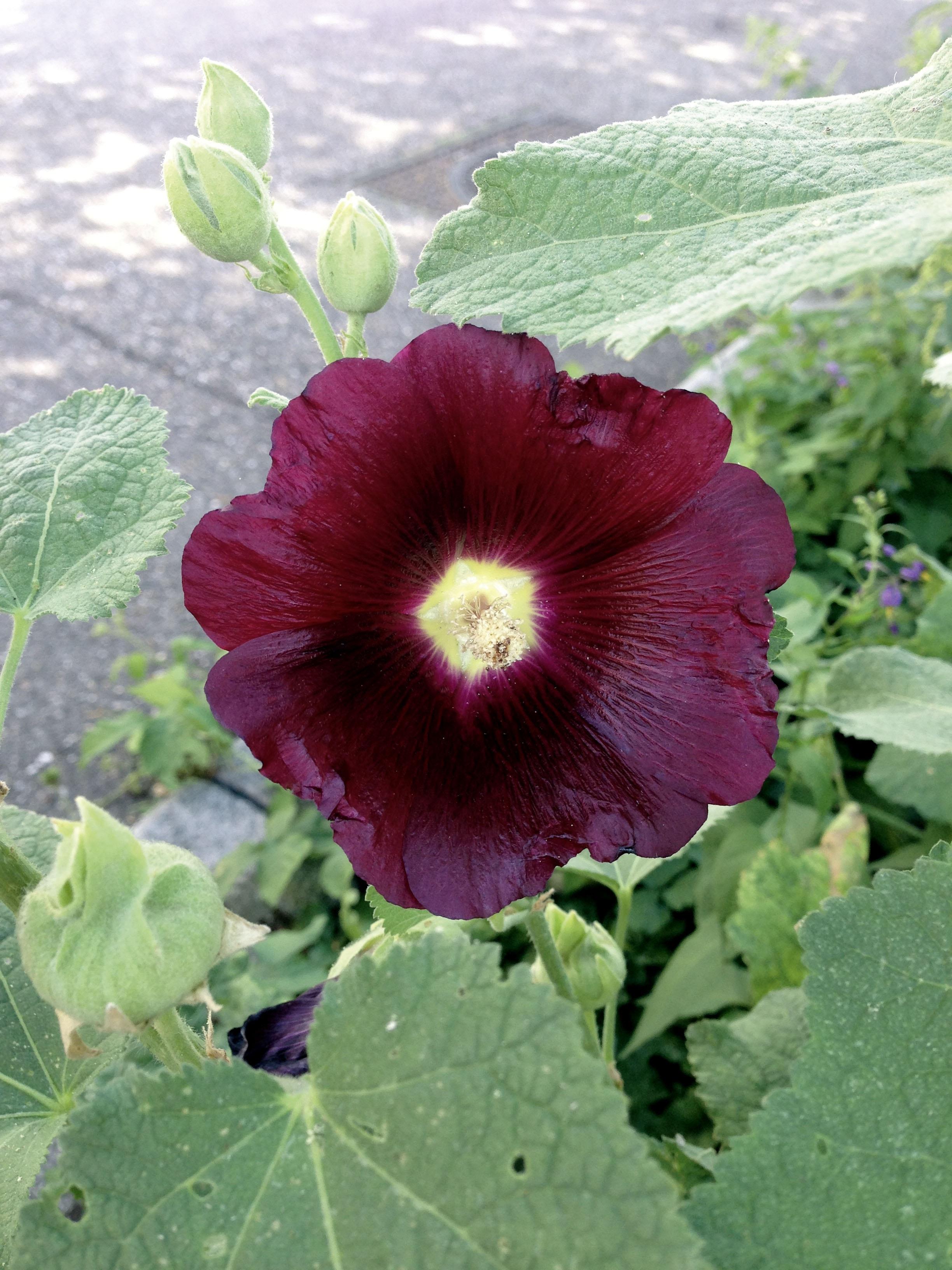 Images Gratuites : fleur, violet, pétale, été, botanique, flore, Bordeaux, Hiboux, plante à ...