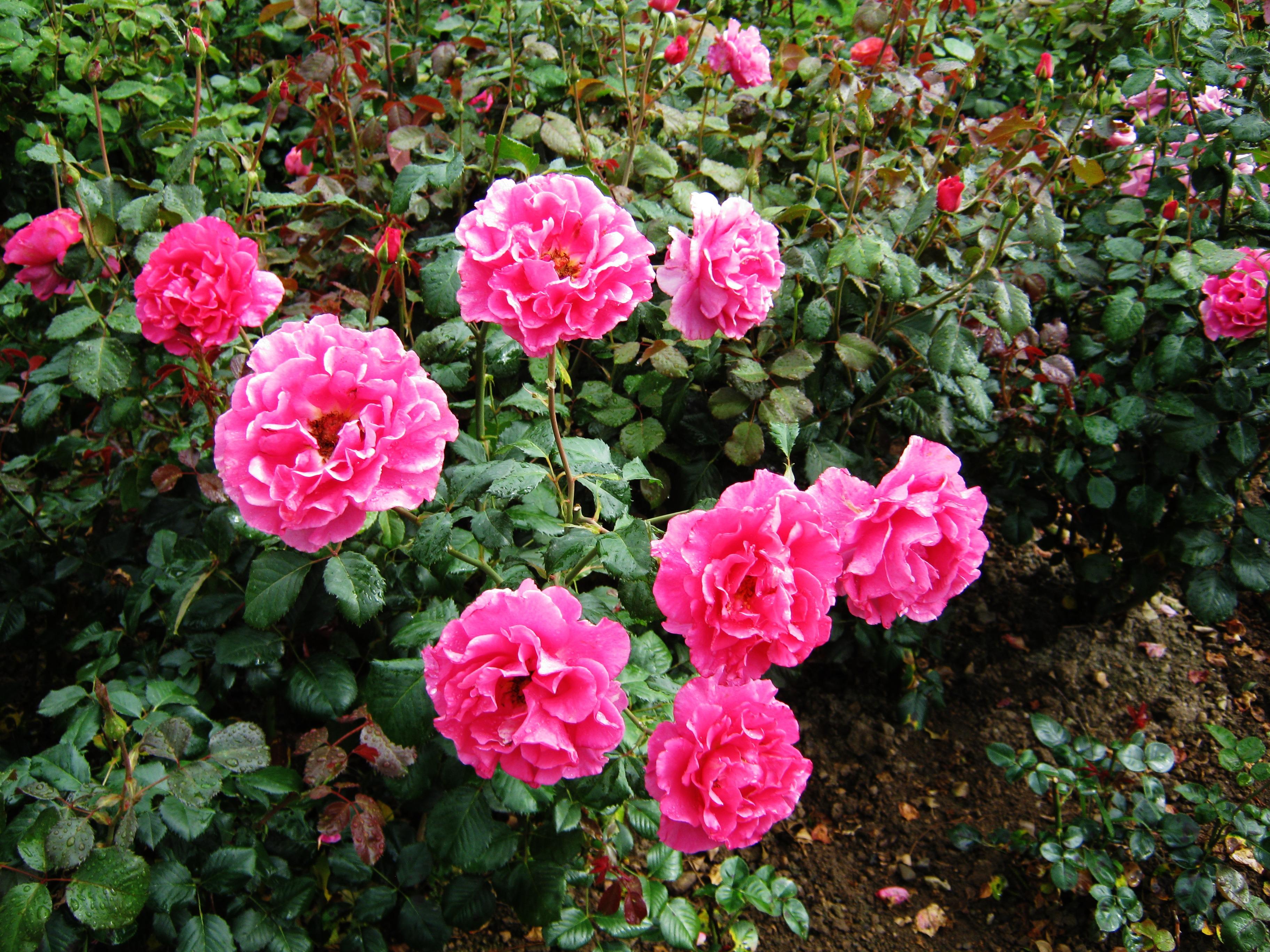 Struiken Met Bloemen Voor In De Tuin.Gratis Afbeeldingen Fabriek Bloem Purper Tuin Bloemen