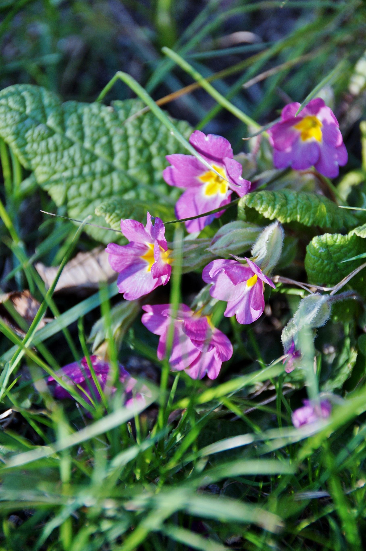 Images gratuites fleur violet printemps botanique jardin flore fleur sauvage primev re - Image fleur violette gratuite ...